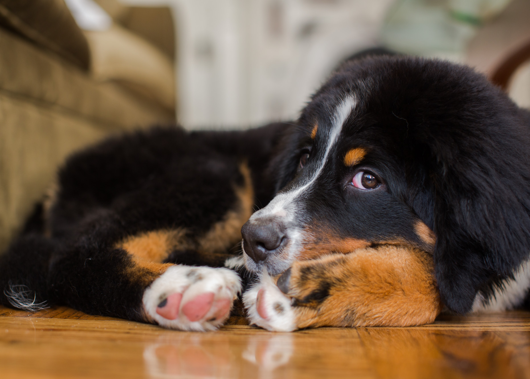 Pet Lifestyle Photography | Bernese Mountain Dog Puppy Curled Up by Mark Rogers