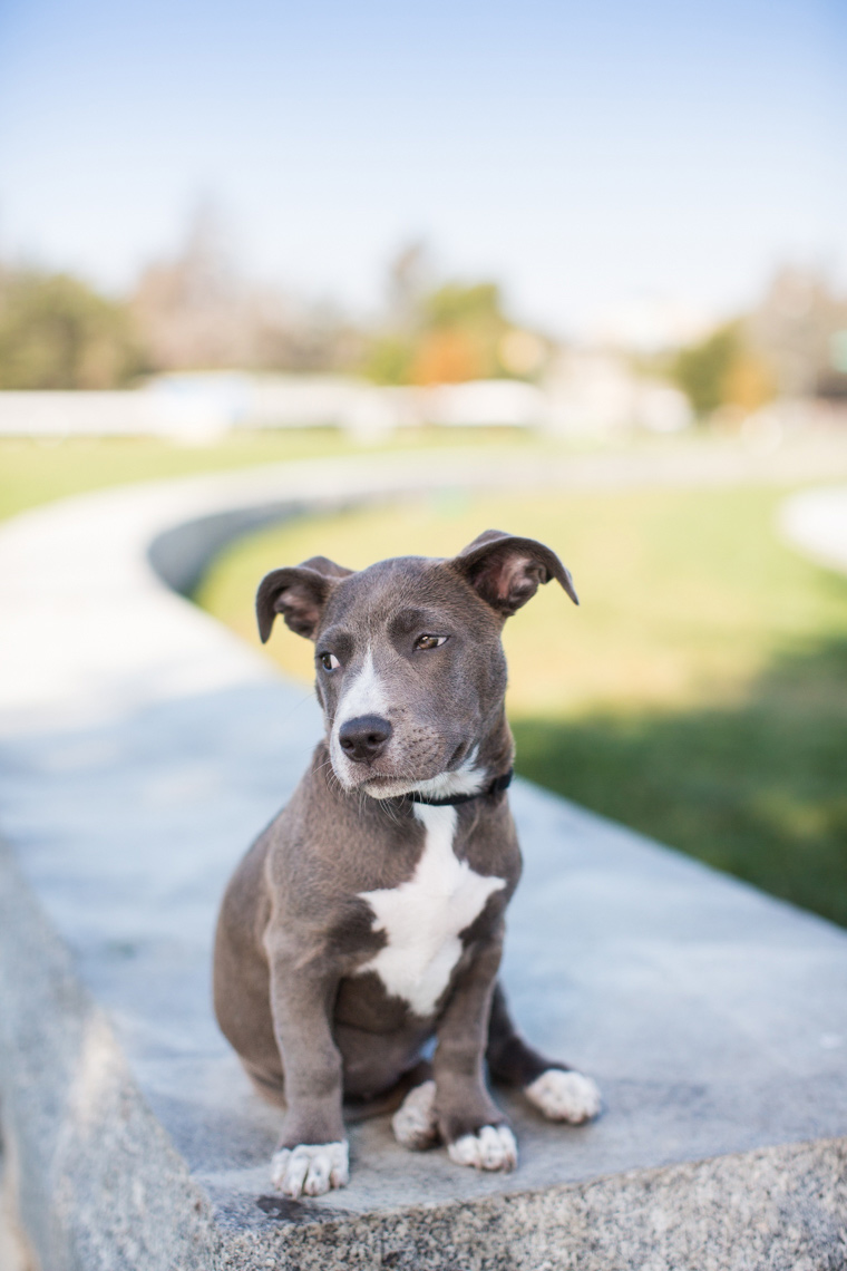 Small-pitbull-puppy-looking-sideways