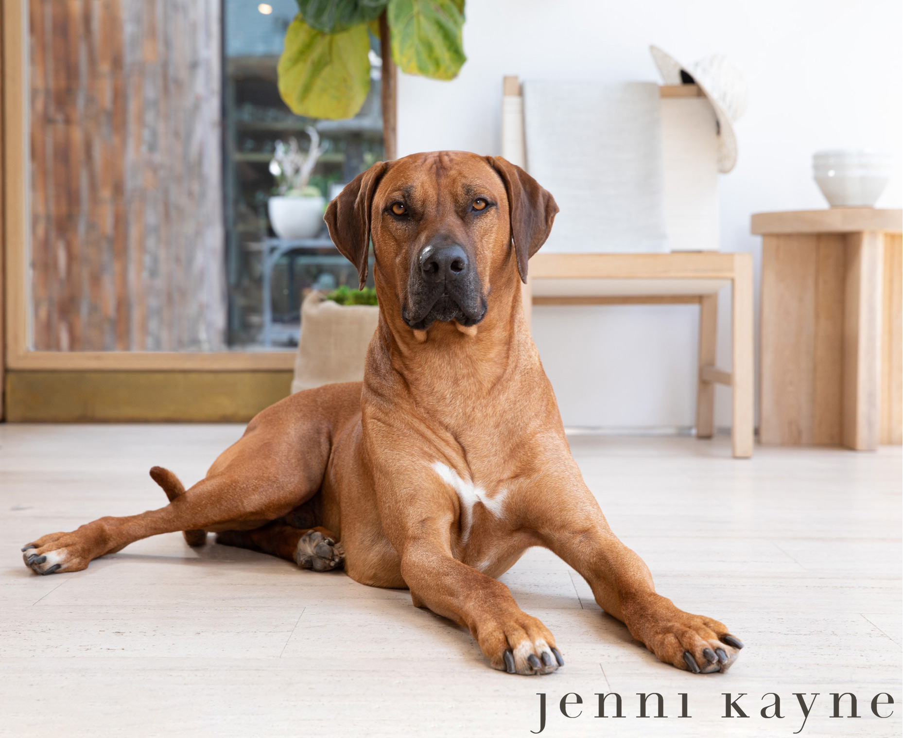 Pet Lifestyle Photography | Rhodesian Ridgeback in Store by Mark Rogers