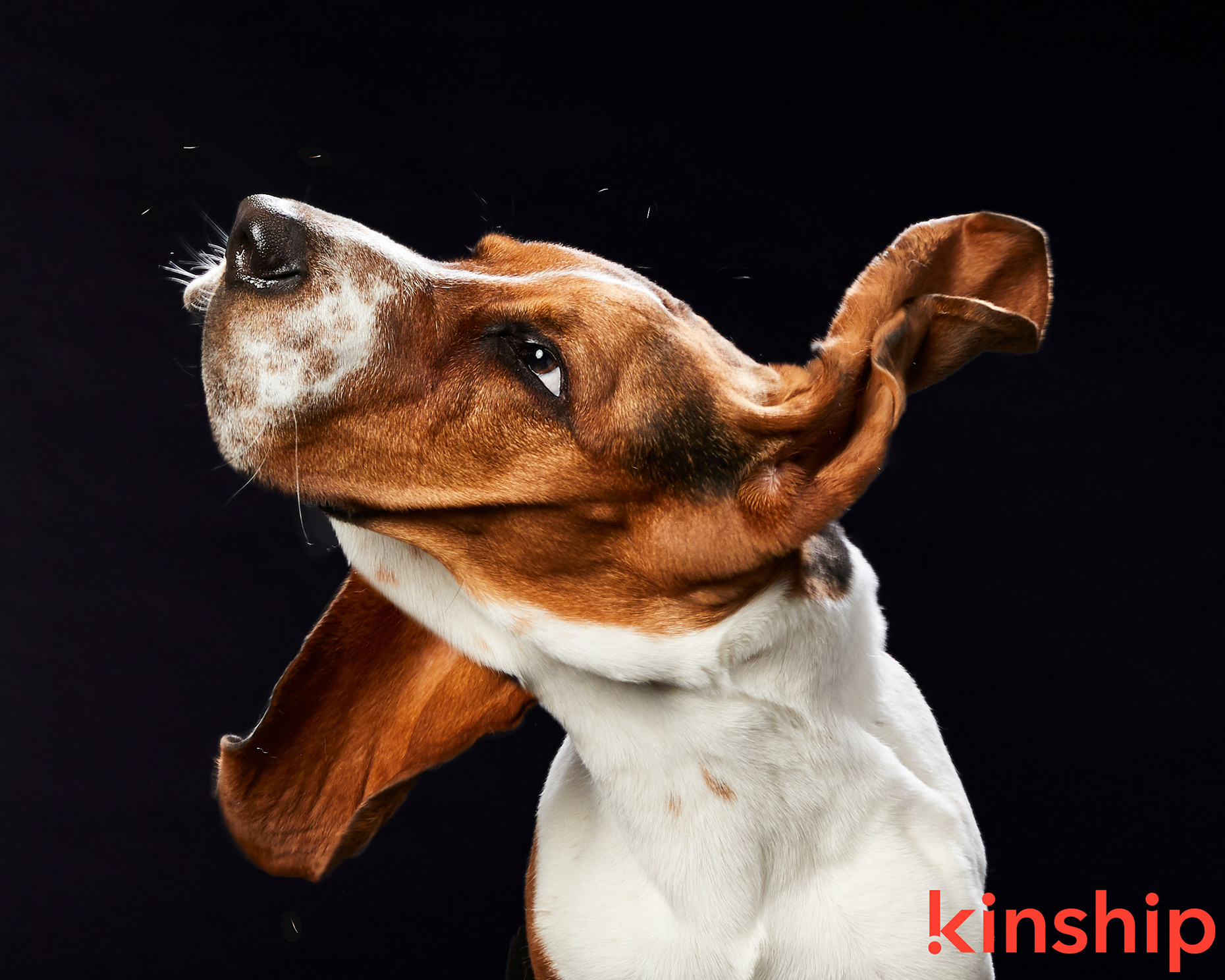 Advertising Photography | Bassett Hound Shaking by Mark Rogers