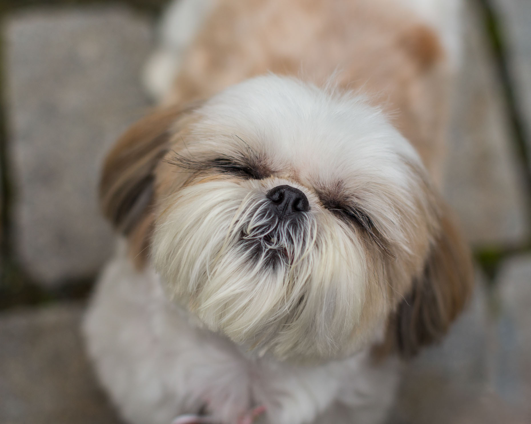 Pet Photography  |  Lhasa Apso Close-Up by Mark Rogers