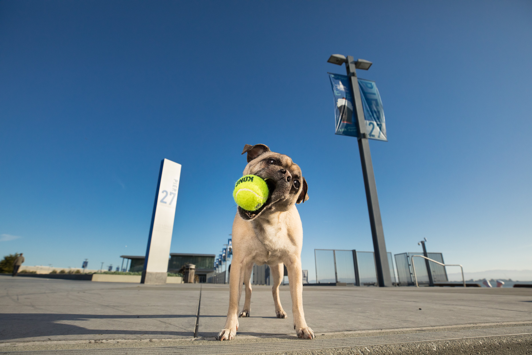 Dog Photography | Pug  with Tennis Ball by Mark Rogers