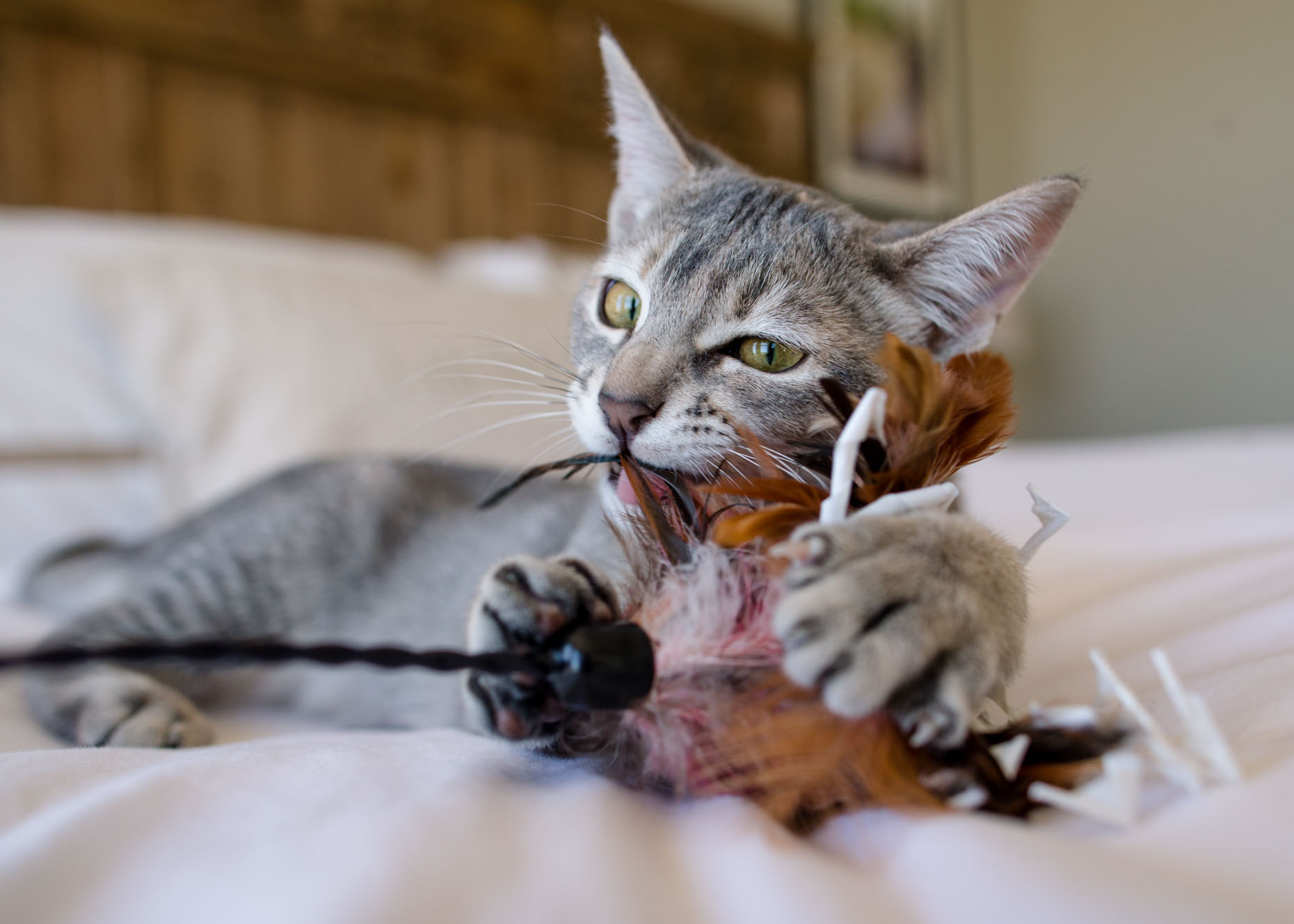 Cat Photography | Kitten Playing with Toy by Mark Rogers