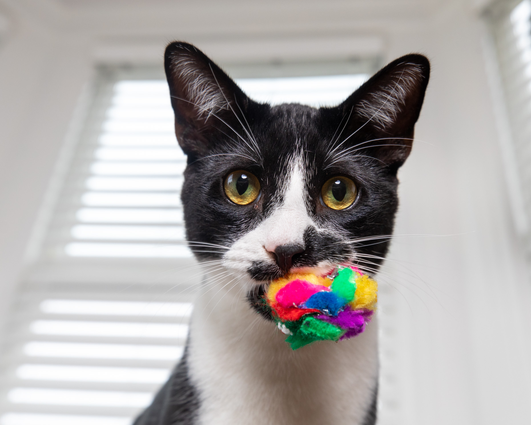 Cat Lifestyle Photography | Cat with Toy in Mouth by Mark Rogers