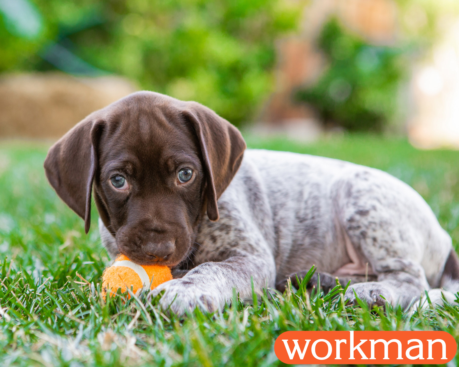 Pet Editorial Photography | Pointer puppy with ball by Mark Rogers