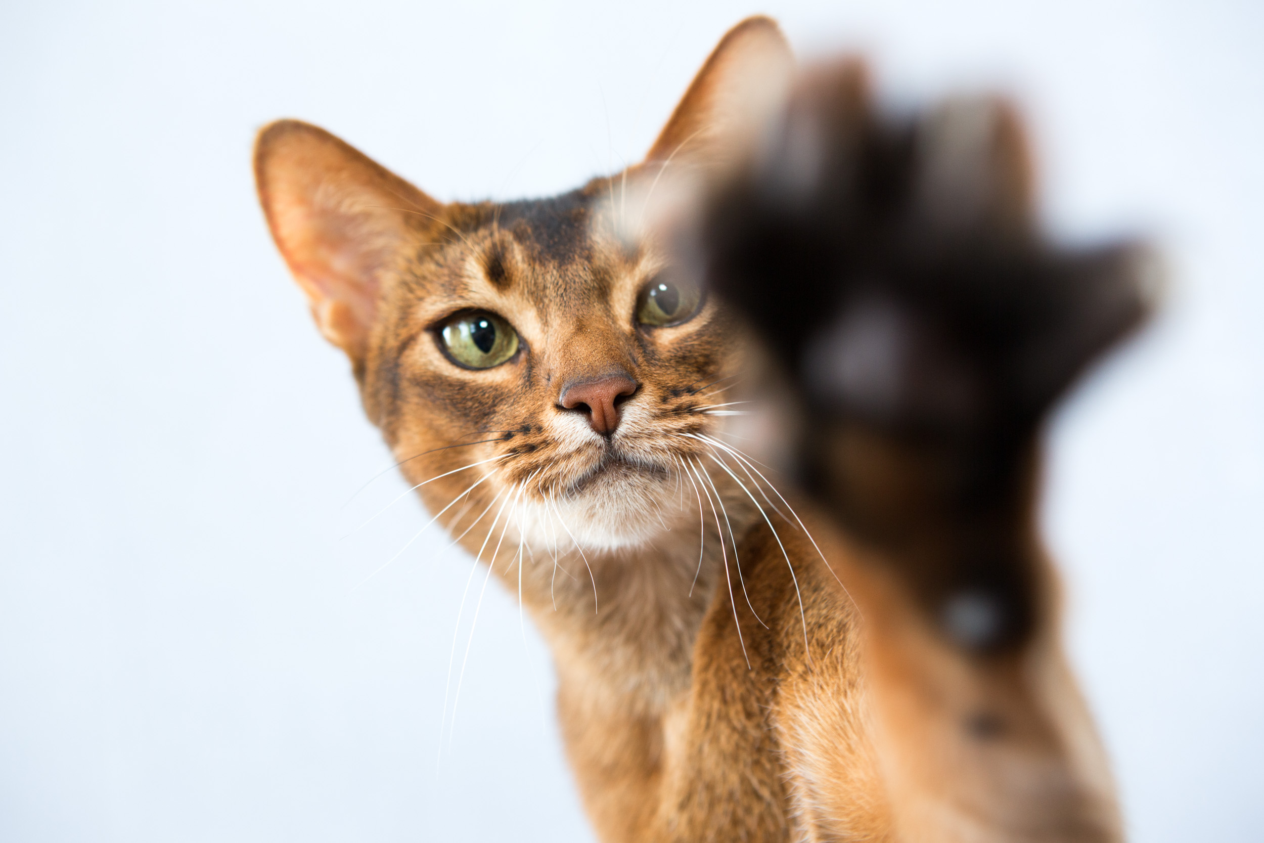 Pet Studio Photography | Cat with Paw Raised by Mark Rogers