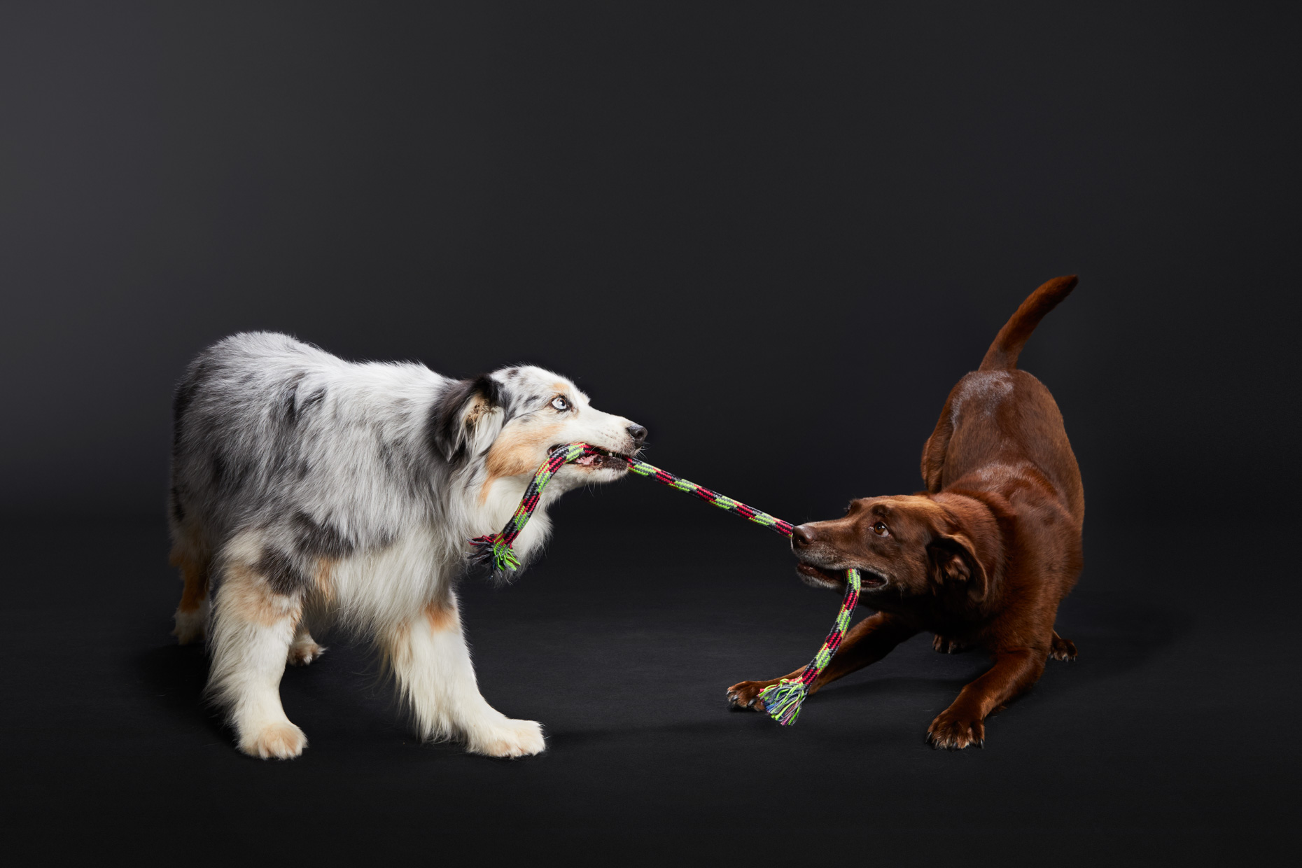 Pet Studio Photography | Two Dogs Playing Tug by Mark Rogers
