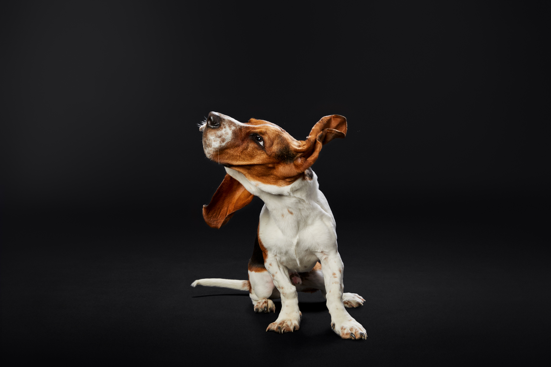 Dog Studio Photography | Shaking Basset Hound