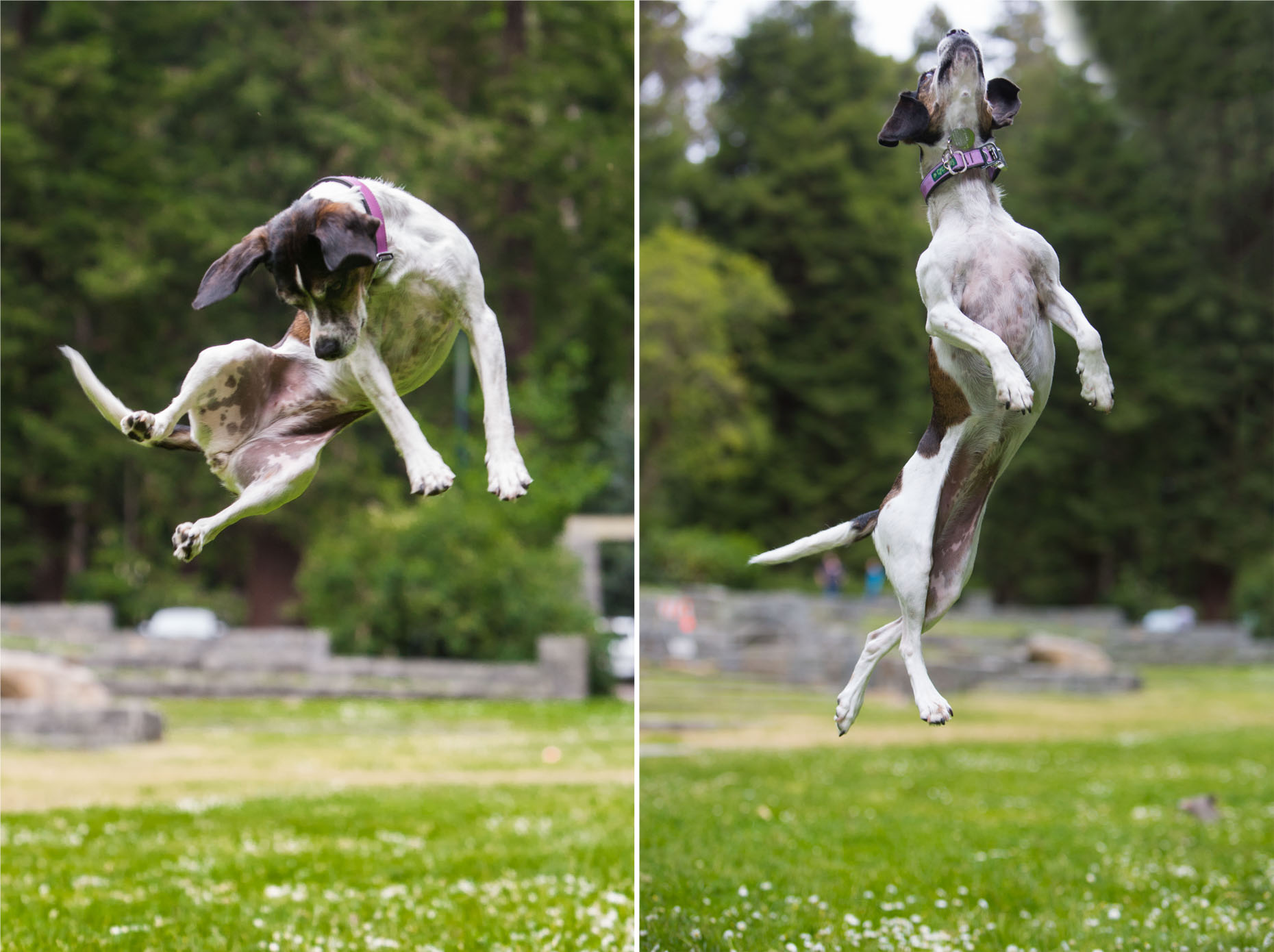 Dog Photography  |  Dog Jumping by Mark Rogers