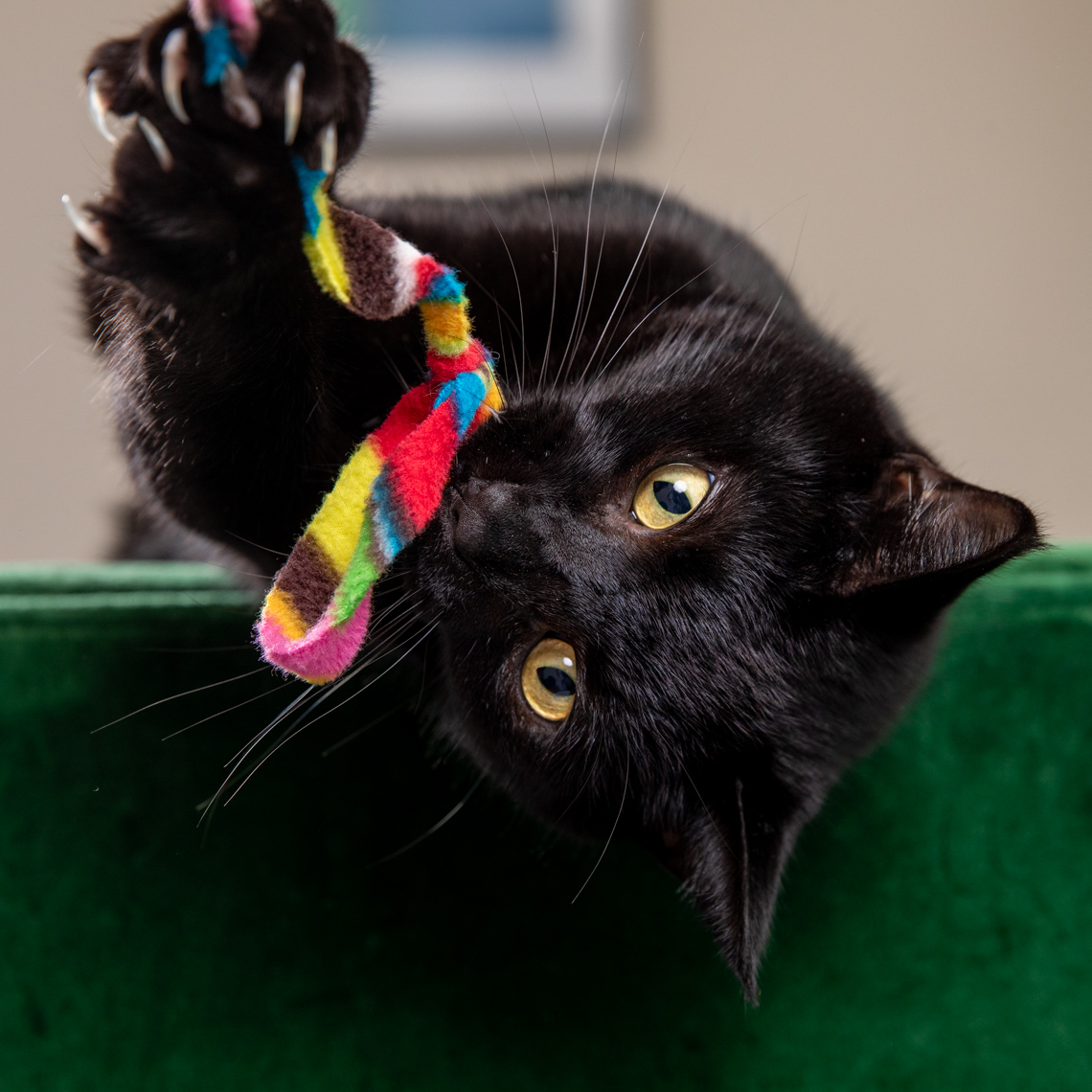 Pet Lifestyle Photography | Black Cat Holding Toy by Mark Rogers
