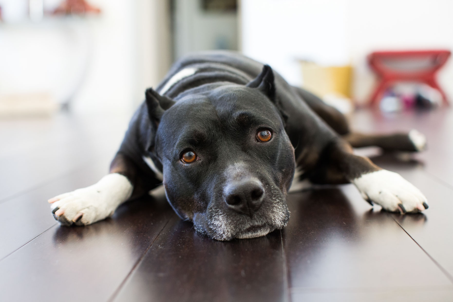 Dog and Pet Photography | Black Pit Bull Mix Dog by Mark Rogers