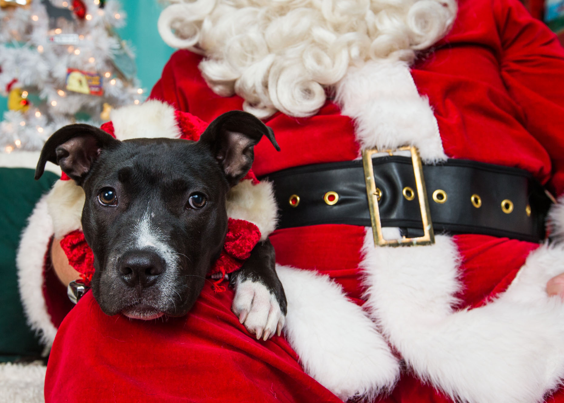 Commercial Dog Photography | Cute Puppy with Santa by Mark Rogers
