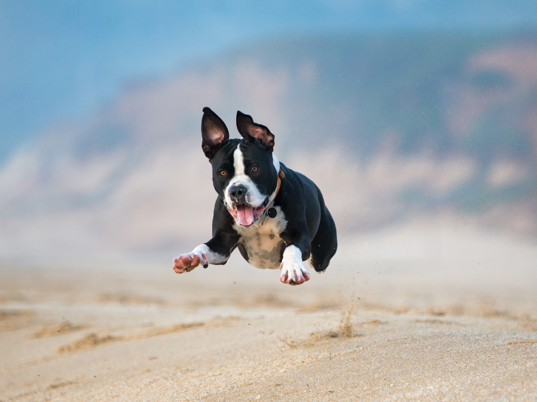 Dog Lifestyle Photography | Pitbull on Beach by Mark Rogers
