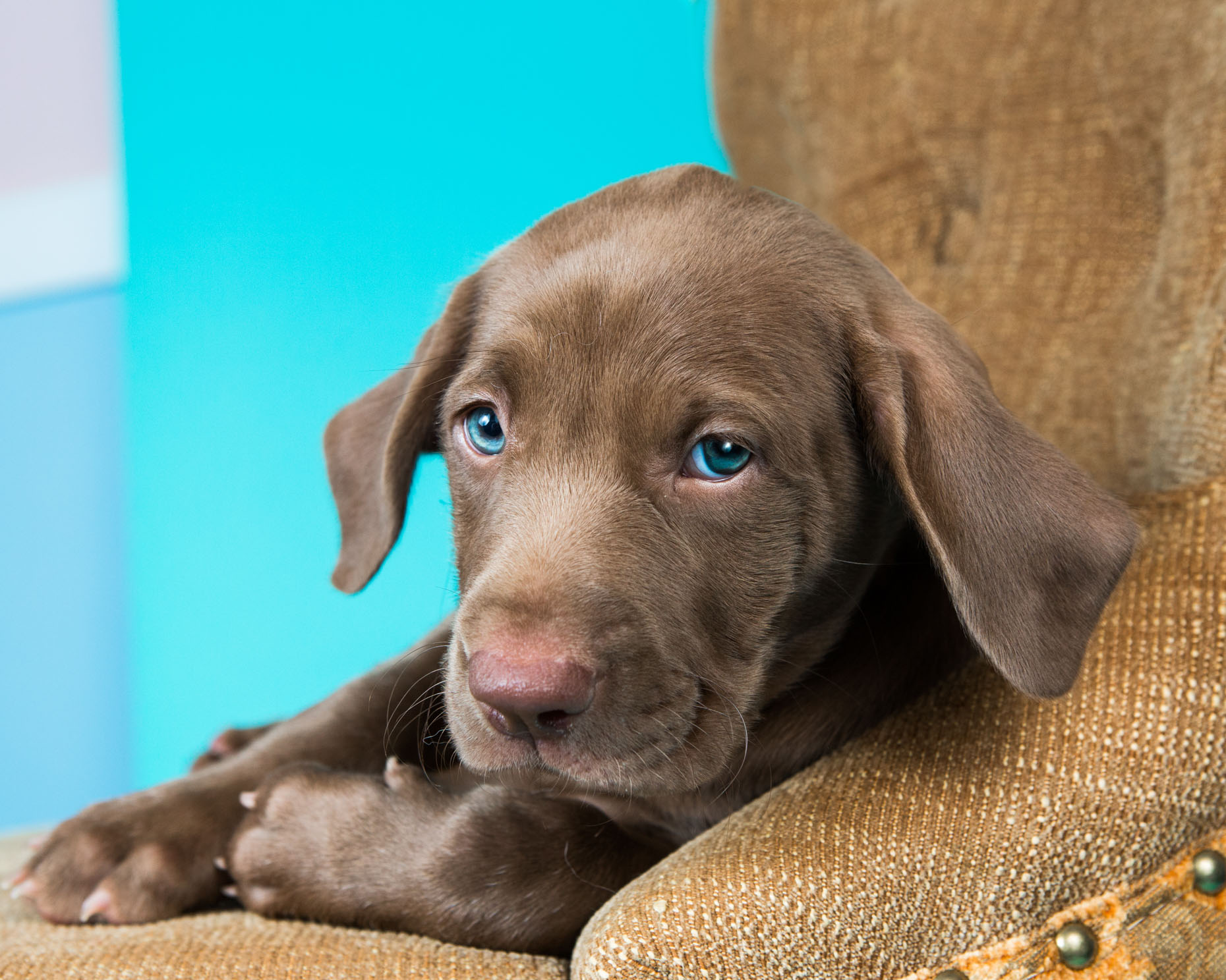 Dog Photography  |  Grey Puppy with Blue Eyes by Mark Rogers