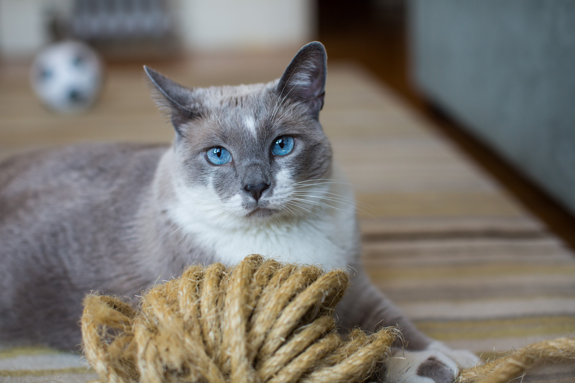 Pet and Cat Photography | Siamese Cat Behind Rope by Mark Rogers