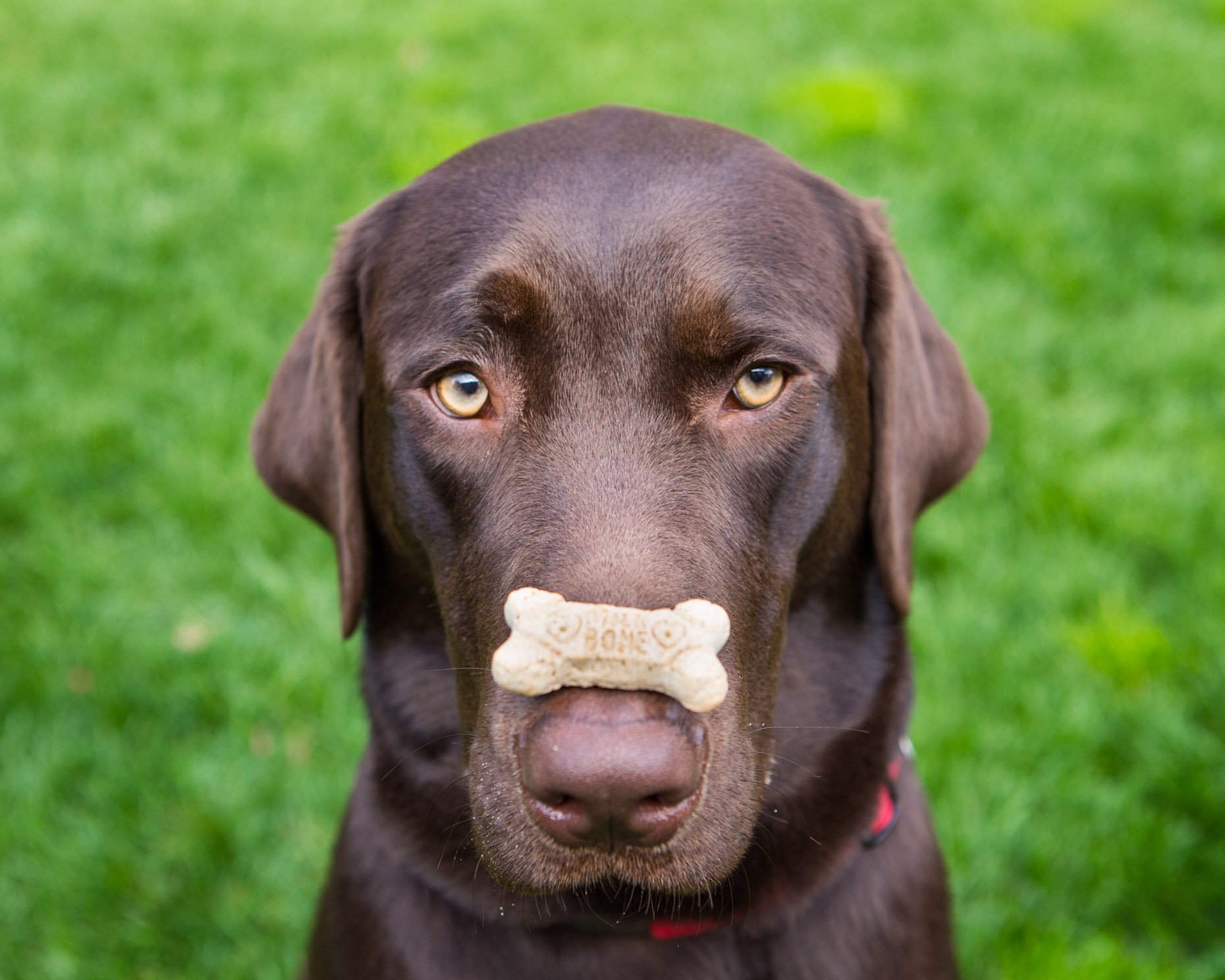 brown-labrador-dog-with-treat-on-nose