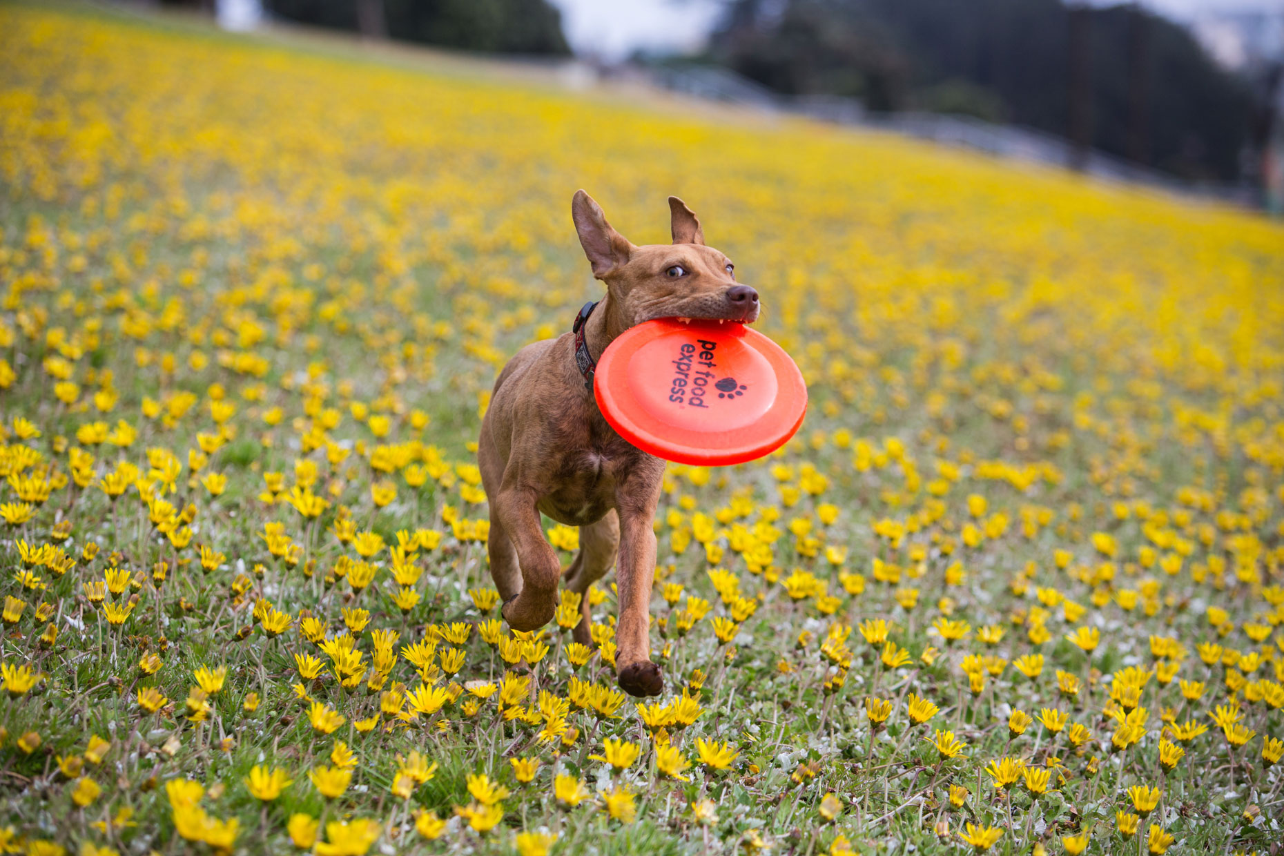 Dog Advertising Photography | Dog Running Through Dandelions by Mark Rogers