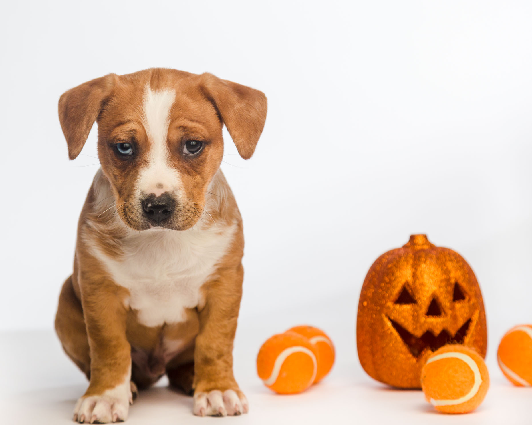 Animal Advertising Photography | Puppy with Jack-O-Lantern by Mark Rogers