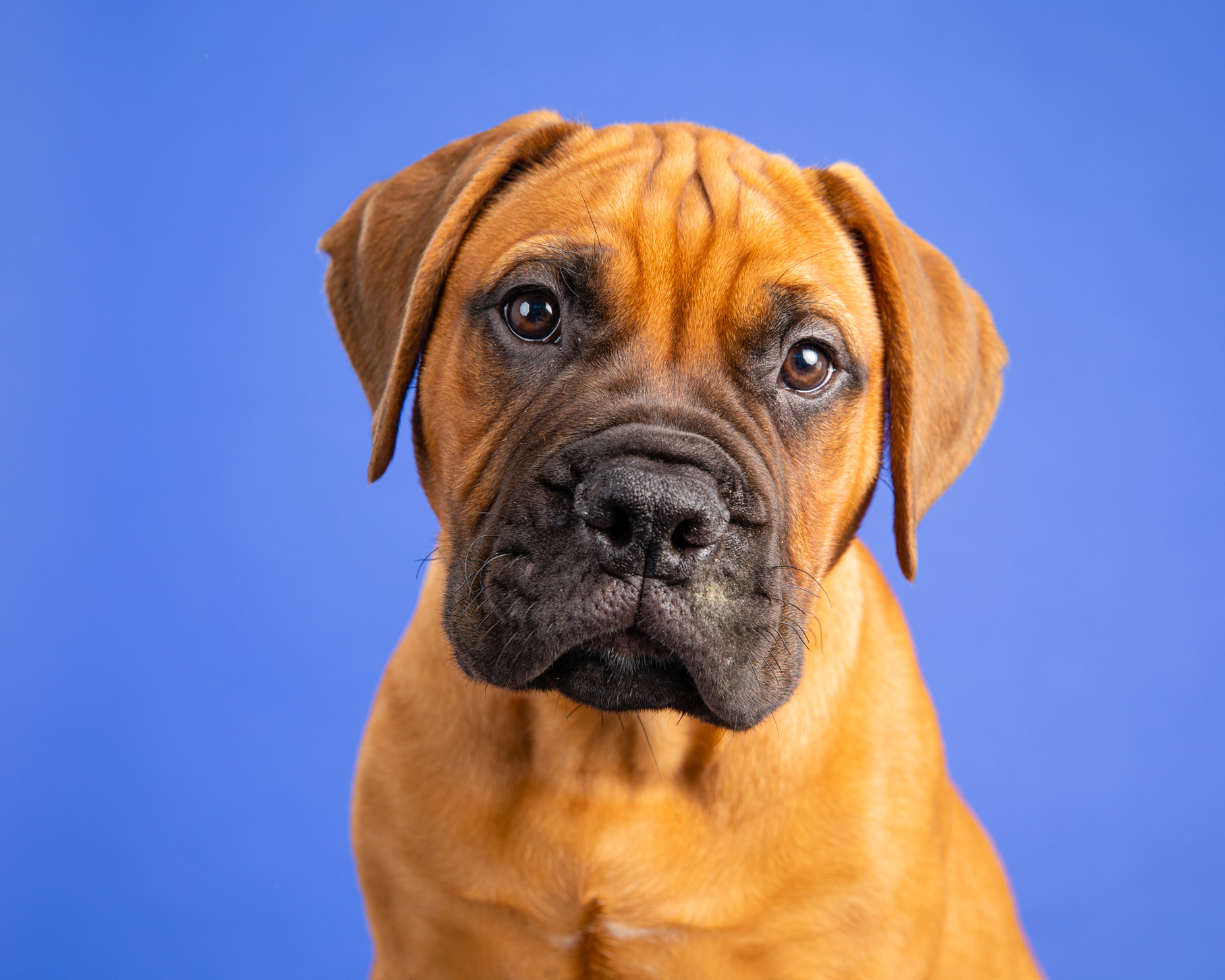 Puppy Photography | Mastiff Puppy on Blue by Mark Rogers