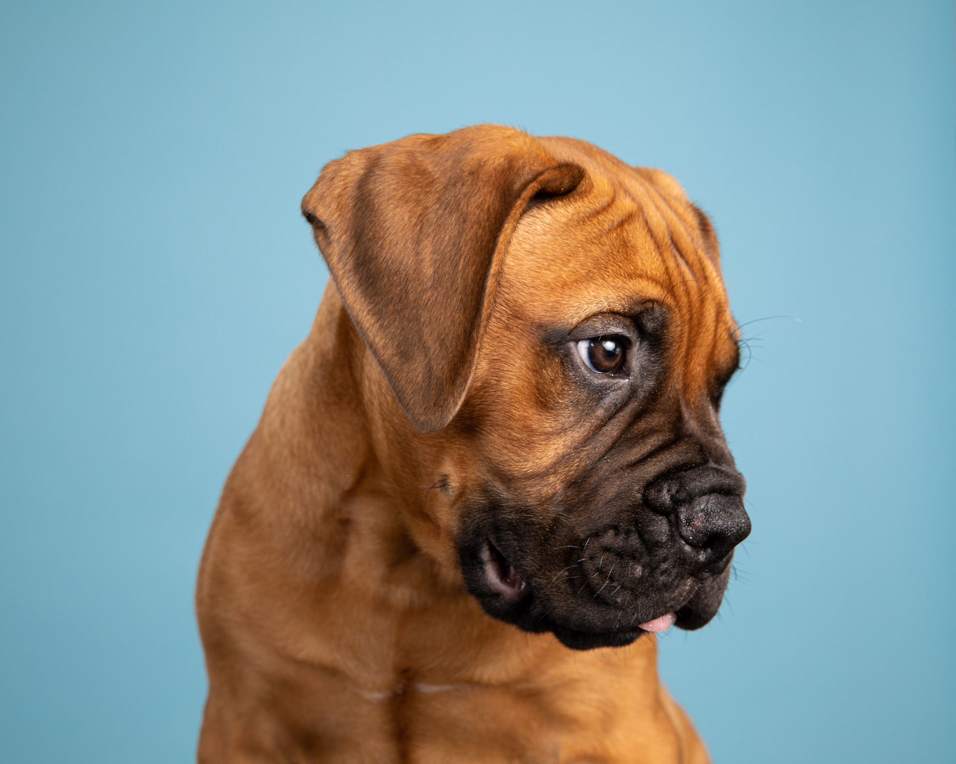 Pet Photography | Mastiff Puppy in Profile by Mark Rogers