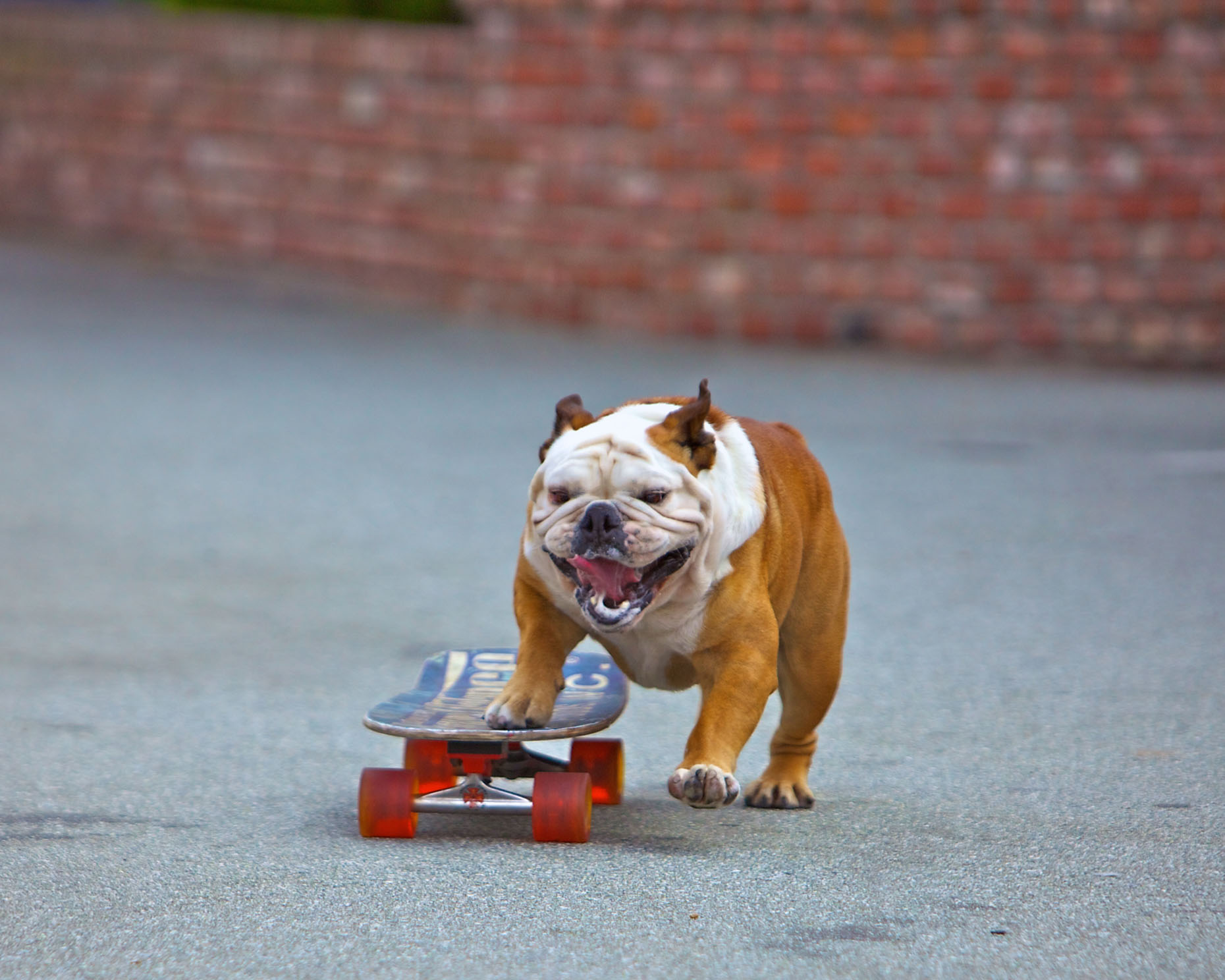 Dog and Pet Photography | Bulldog on a Skateboard by Mark Rogers