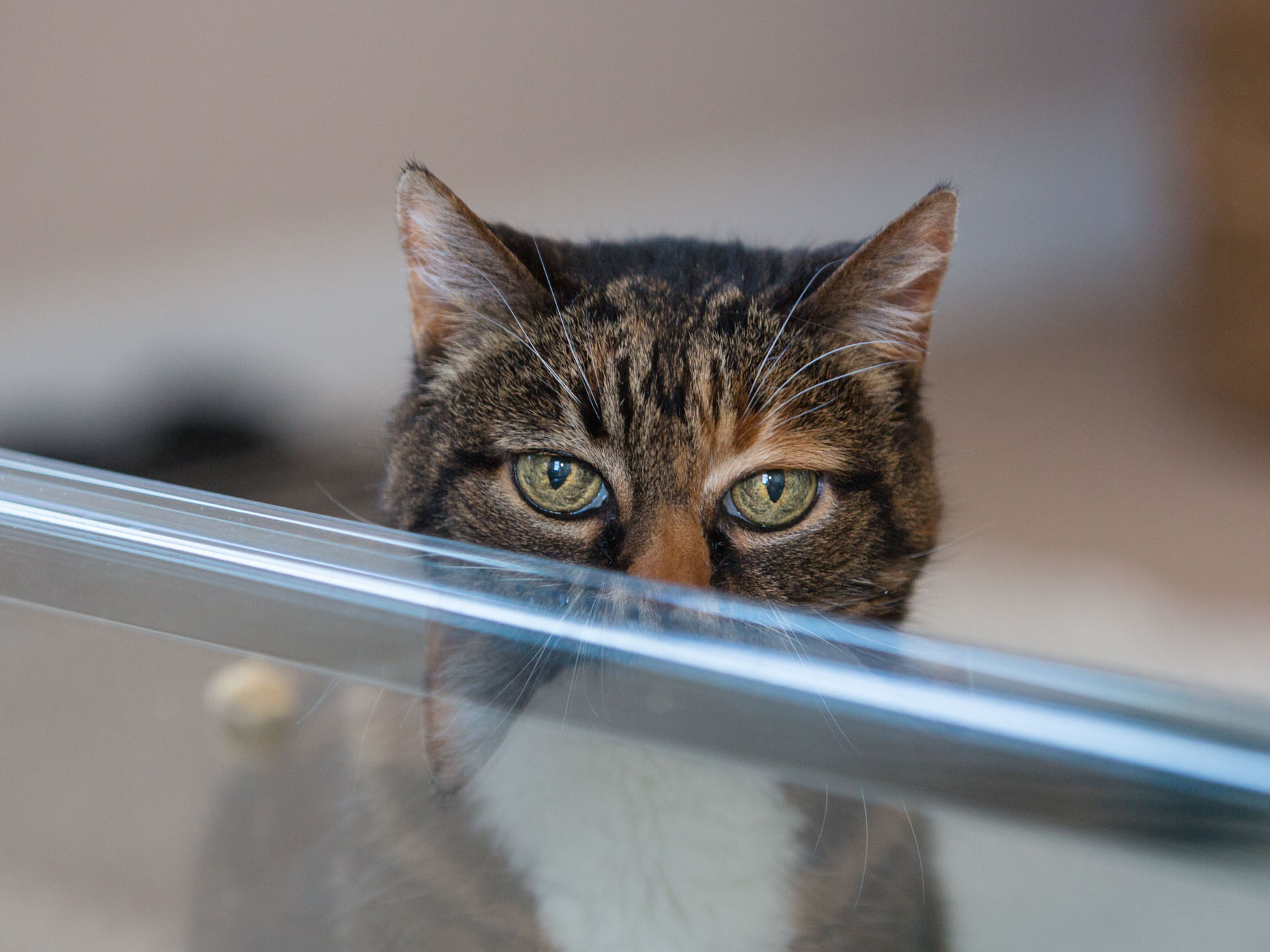 Cat Photography | Cat Looking over Table by Mark Rogers