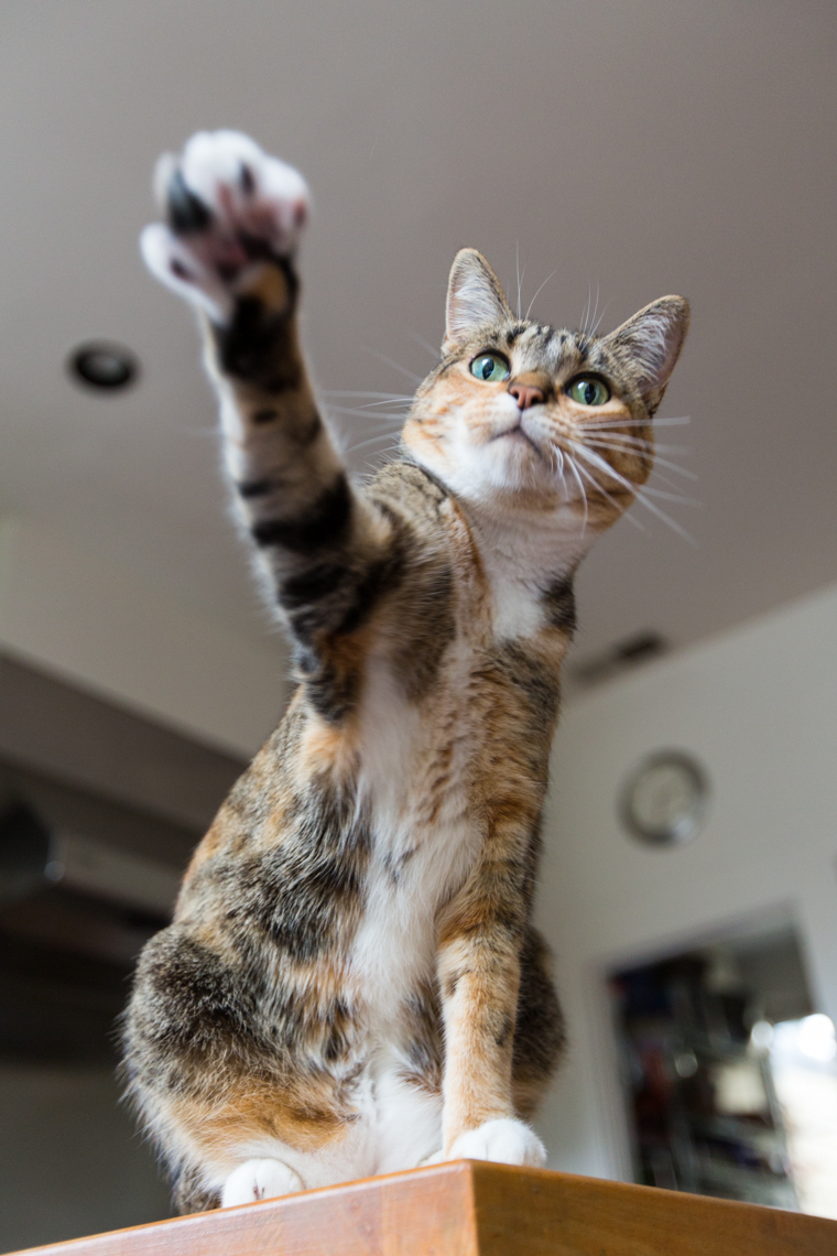 Cat Lifestyle Photography | Tabby Cat Reaching Out Paw by Mark Rogers