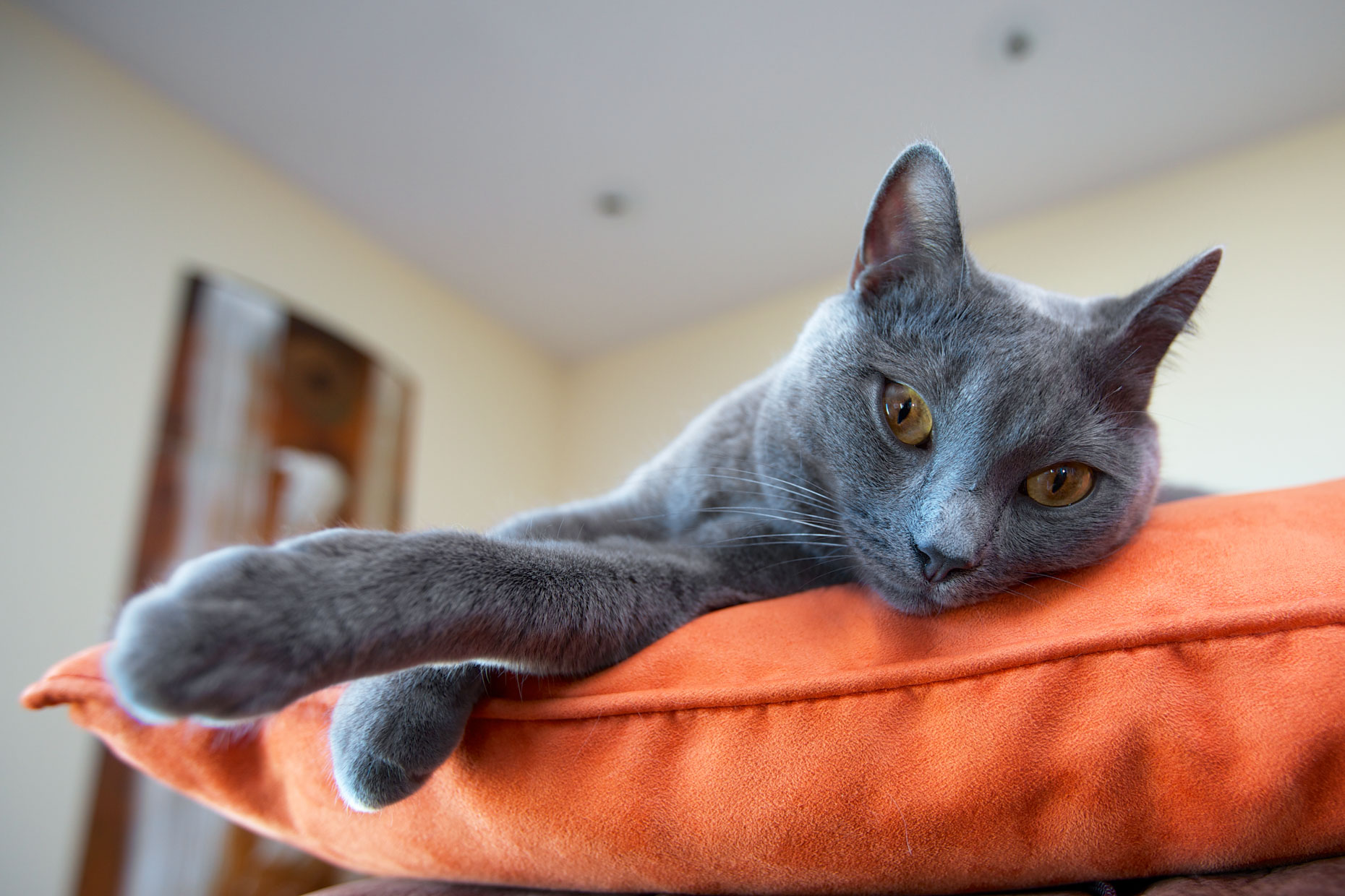 Commercial Pet Photography | Russian Blue Cat on Pillow by Mark Rogers