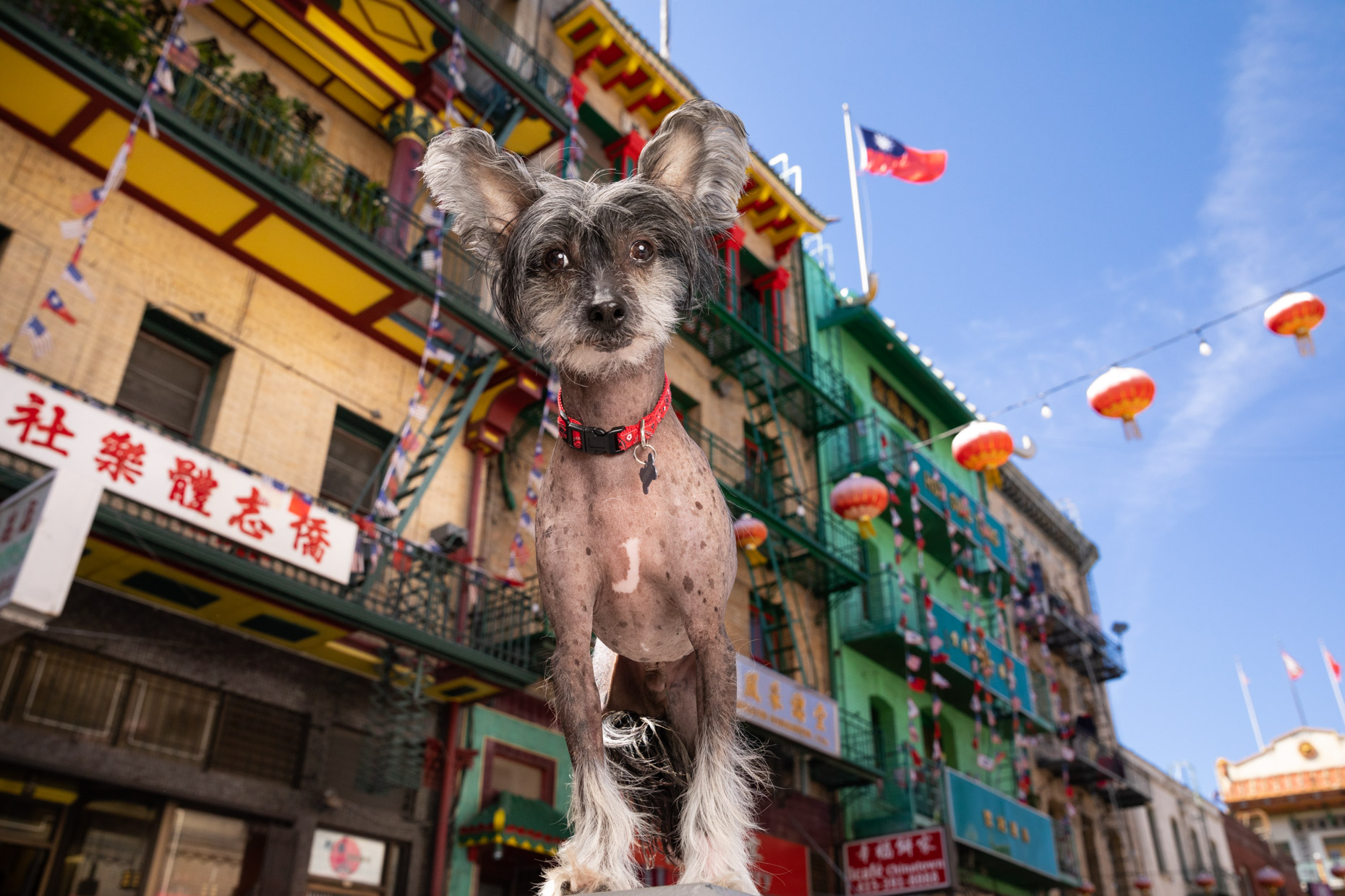 Dog Photography | Chinese Crested Dog in Chinatown by Mark Rogers