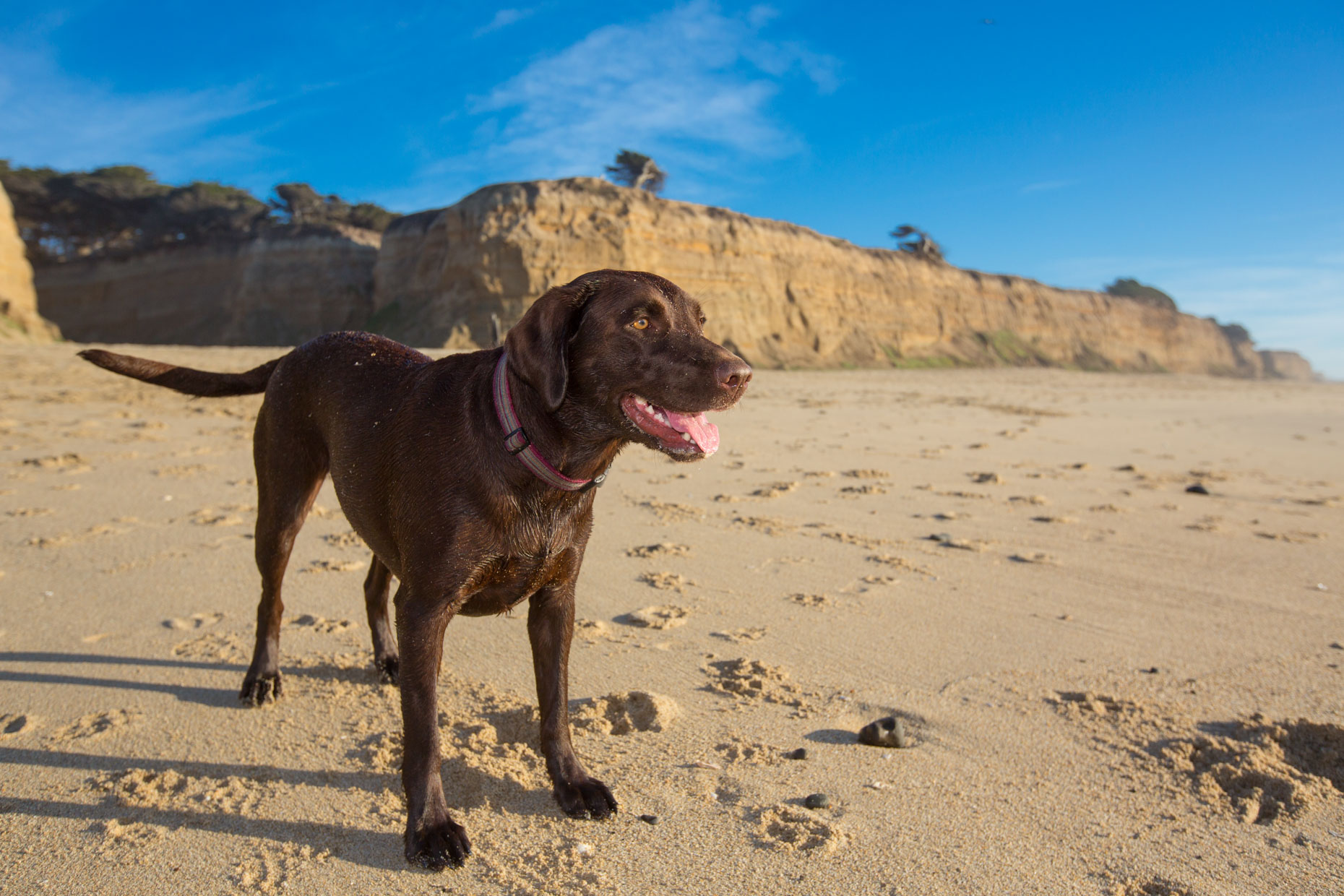 Commercial Pet Photography | Chocolate Lab on the Beach by Mark Rogers