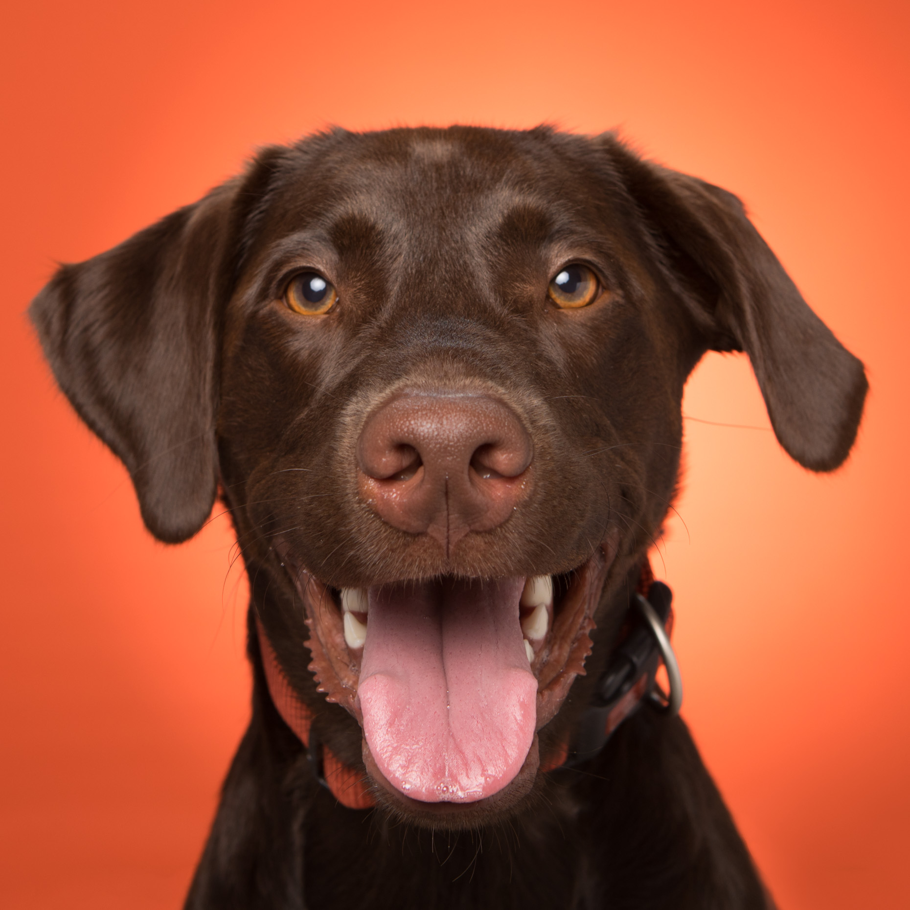 Dog Studio Photography | Happy Chocolate Labrador by Mark Rogers