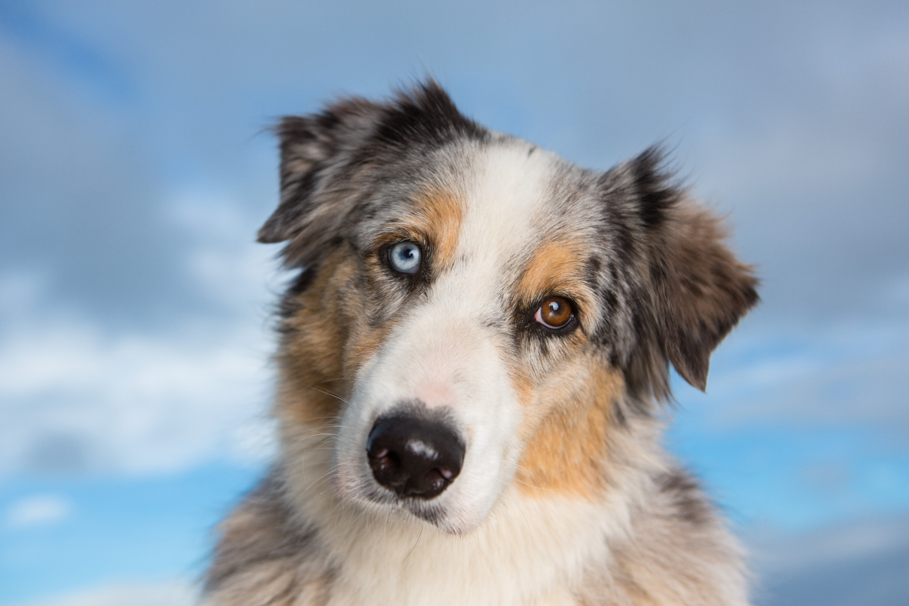 Commercial Dog Photography | Australian Shepherd and Blue Sky by Mark Rogers
