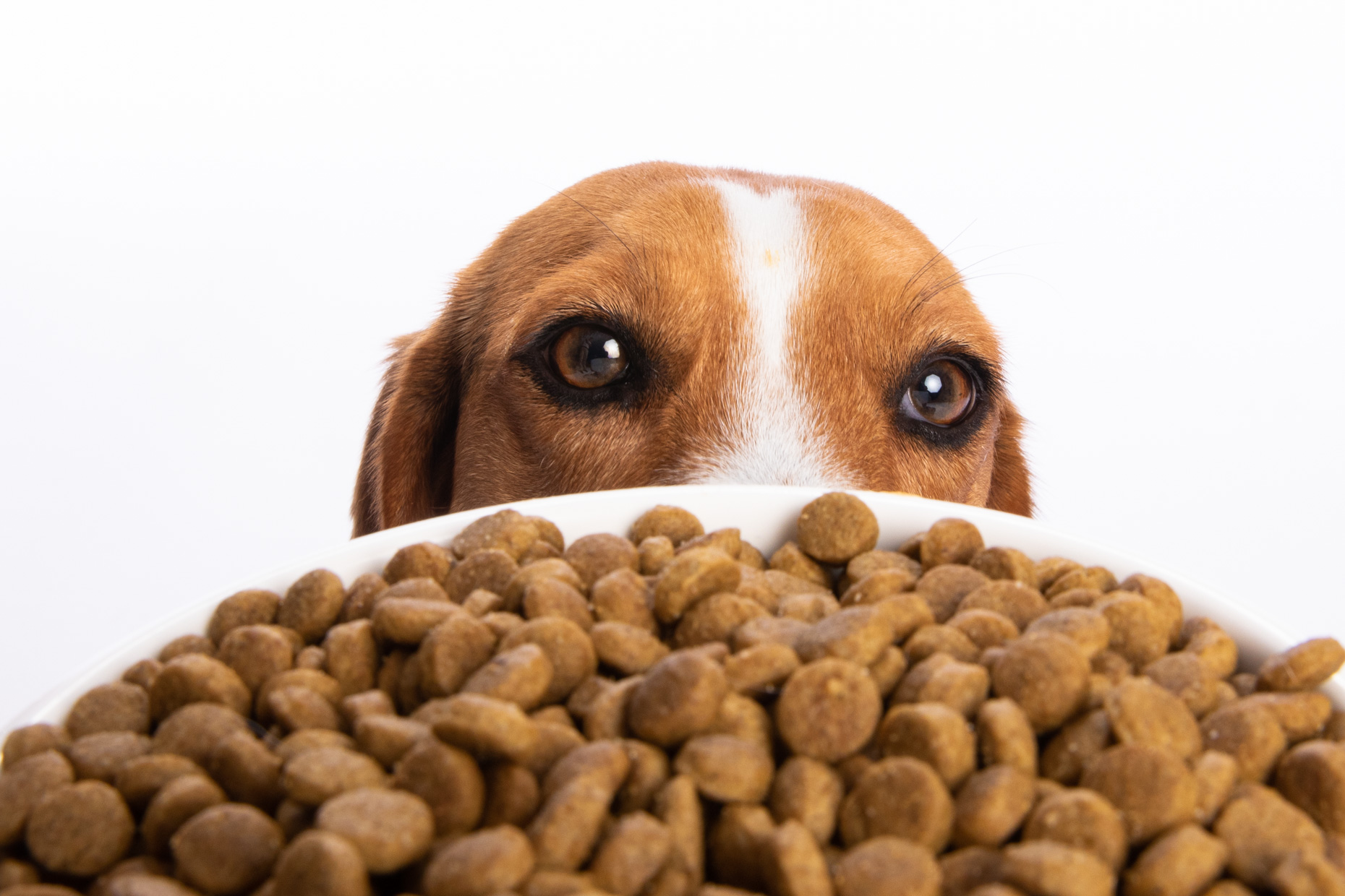 Dog Studio Photography | Beagle Staring at Food by Mark Rogers