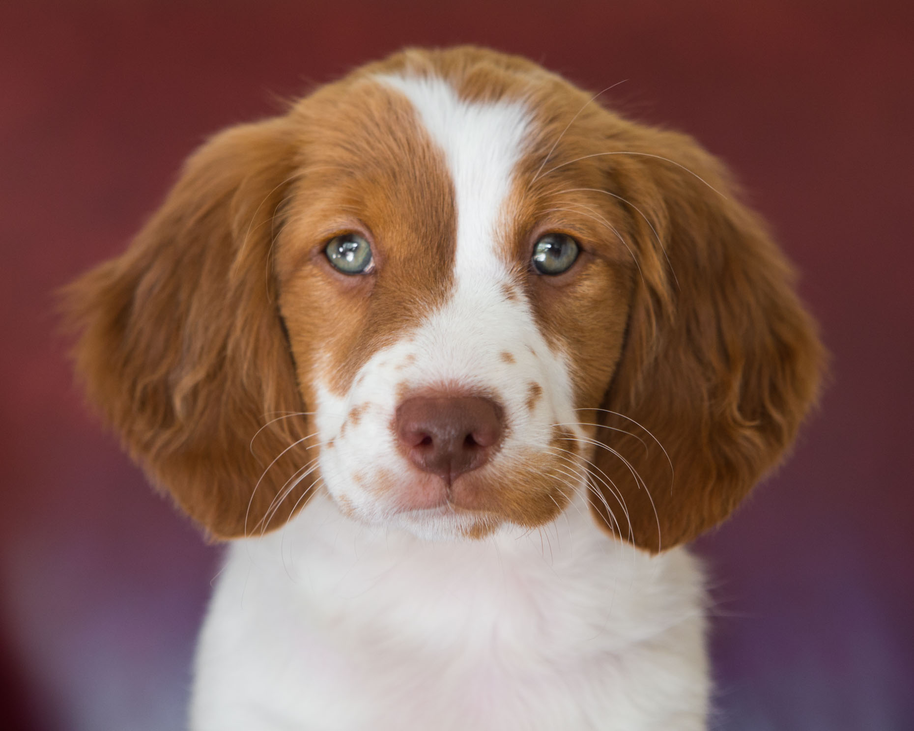 Dog and Pet Photography | Close-up King Brittany Spaniel by Mark Rogers