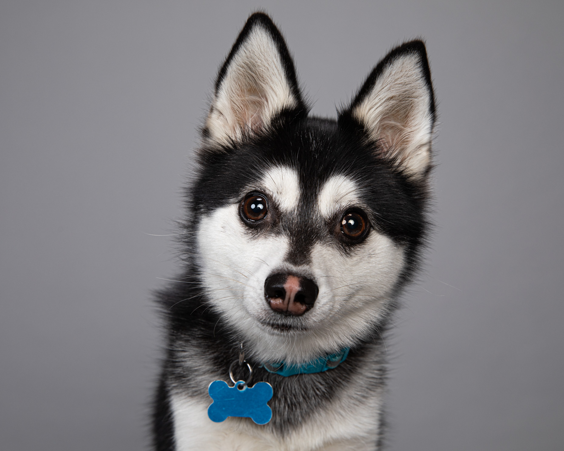Pet Studio Photography | Miniature Husky by Mark Rogers