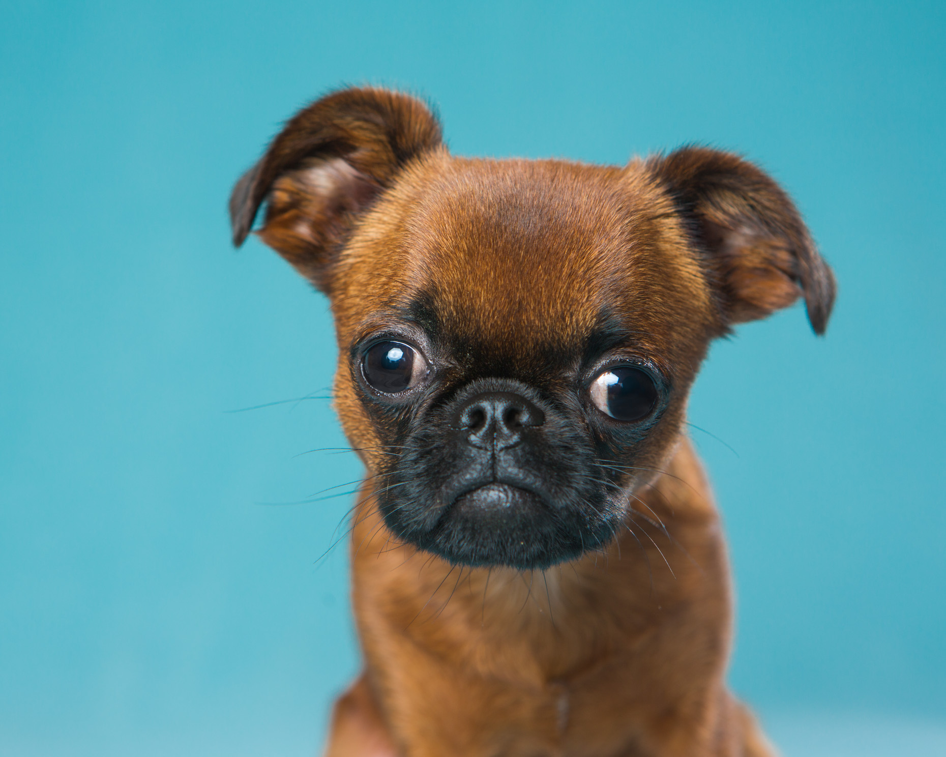 Dog Photography | Brussels Griffon Puppy by Mark Rogers