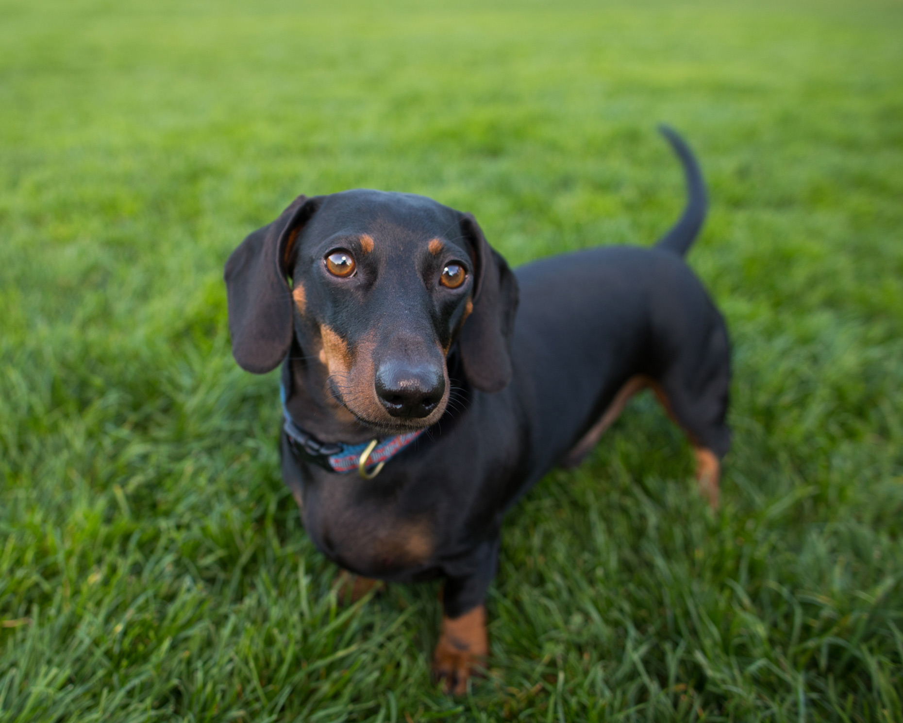 Commercial Photography | Dachshund Looking Up from Grass by Mark Rogers