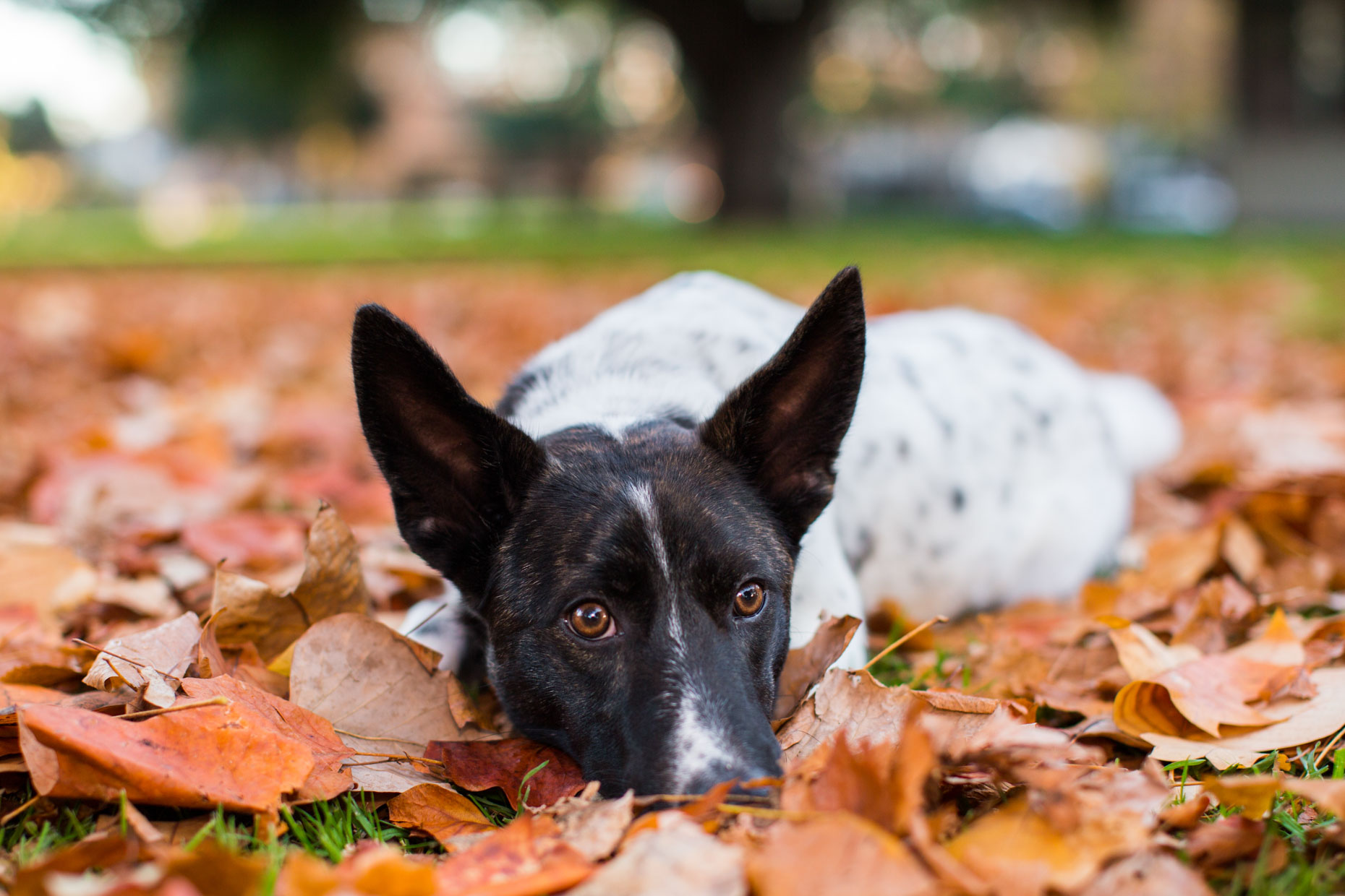 Dog Photography | Dog in Leaves by Mark Rogers
