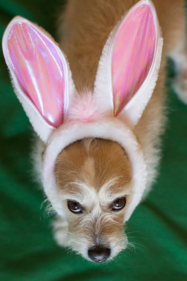Funny Pet Photography | Dog in Bunny Ears by Mark Rogers