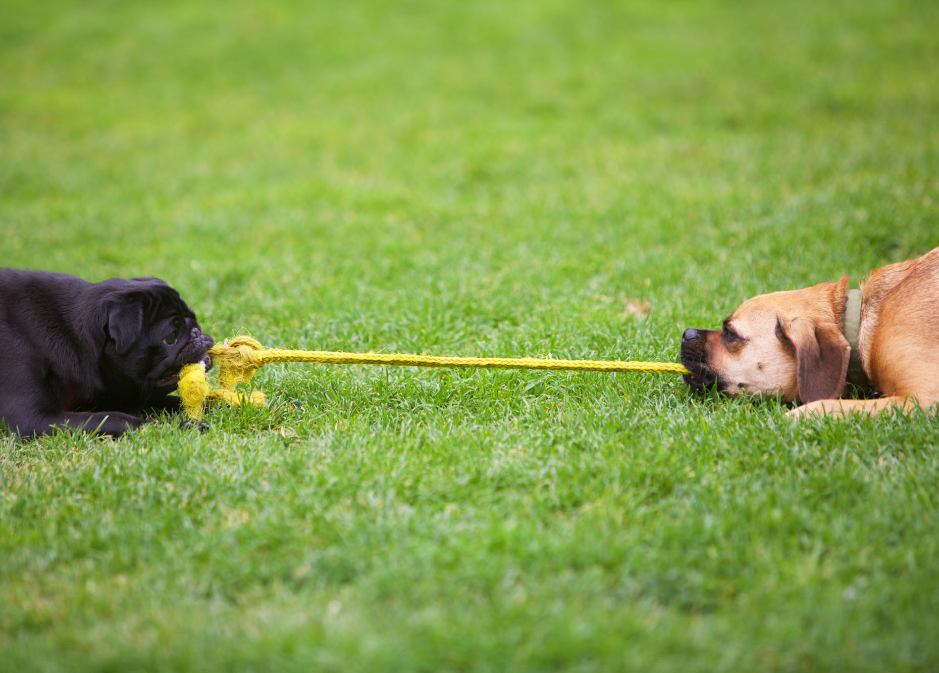 Dog Photography | Dogs Playing Tug of War by Mark Rogers