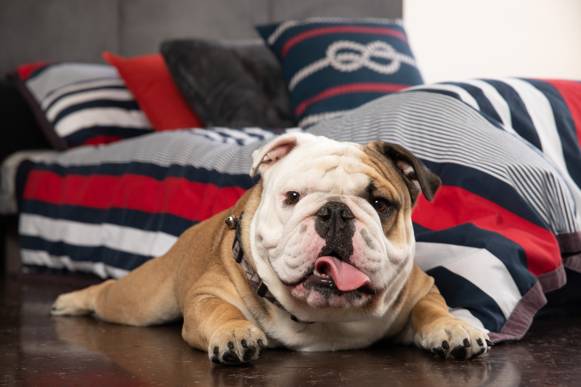 Commercial Dog Photography | Bull Dog Next to Bed by Mark Rogers