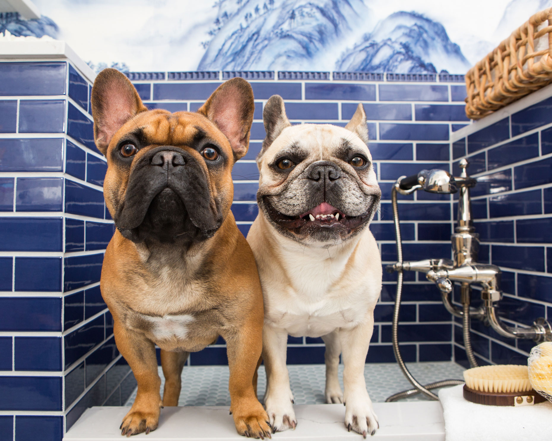 Pet Lifestyle Photography | Pair of French Bulldogs in luxury bath by Mark Rogers