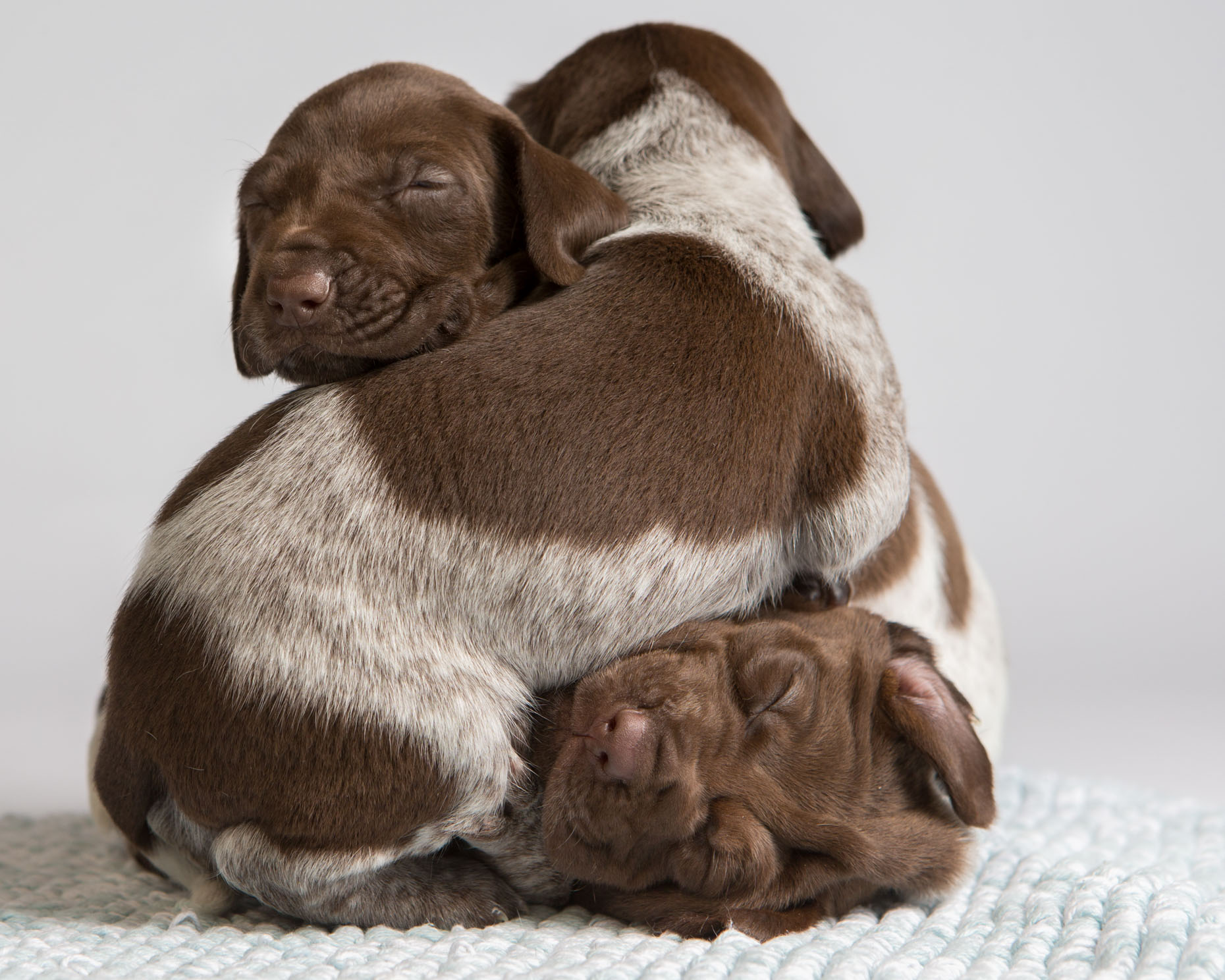 Dog and Pet Photography  |  Pointer Puppy Pile by Mark Rogers