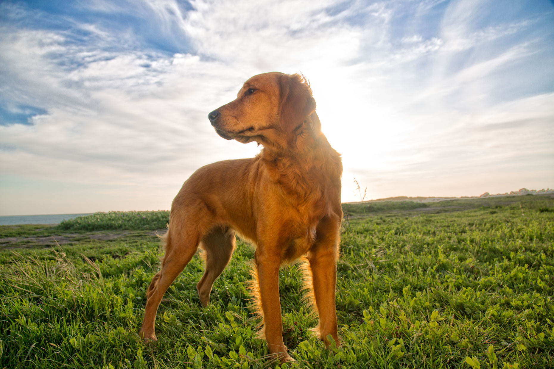 Commercial Pet Photography  |  Heroic Dog in Field by Mark Rogers