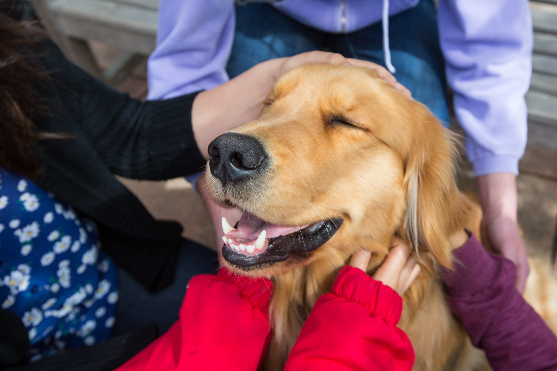 Commercial Animal Photography | Golden Retriever Therapy Dog Close-up by Mark Rogers