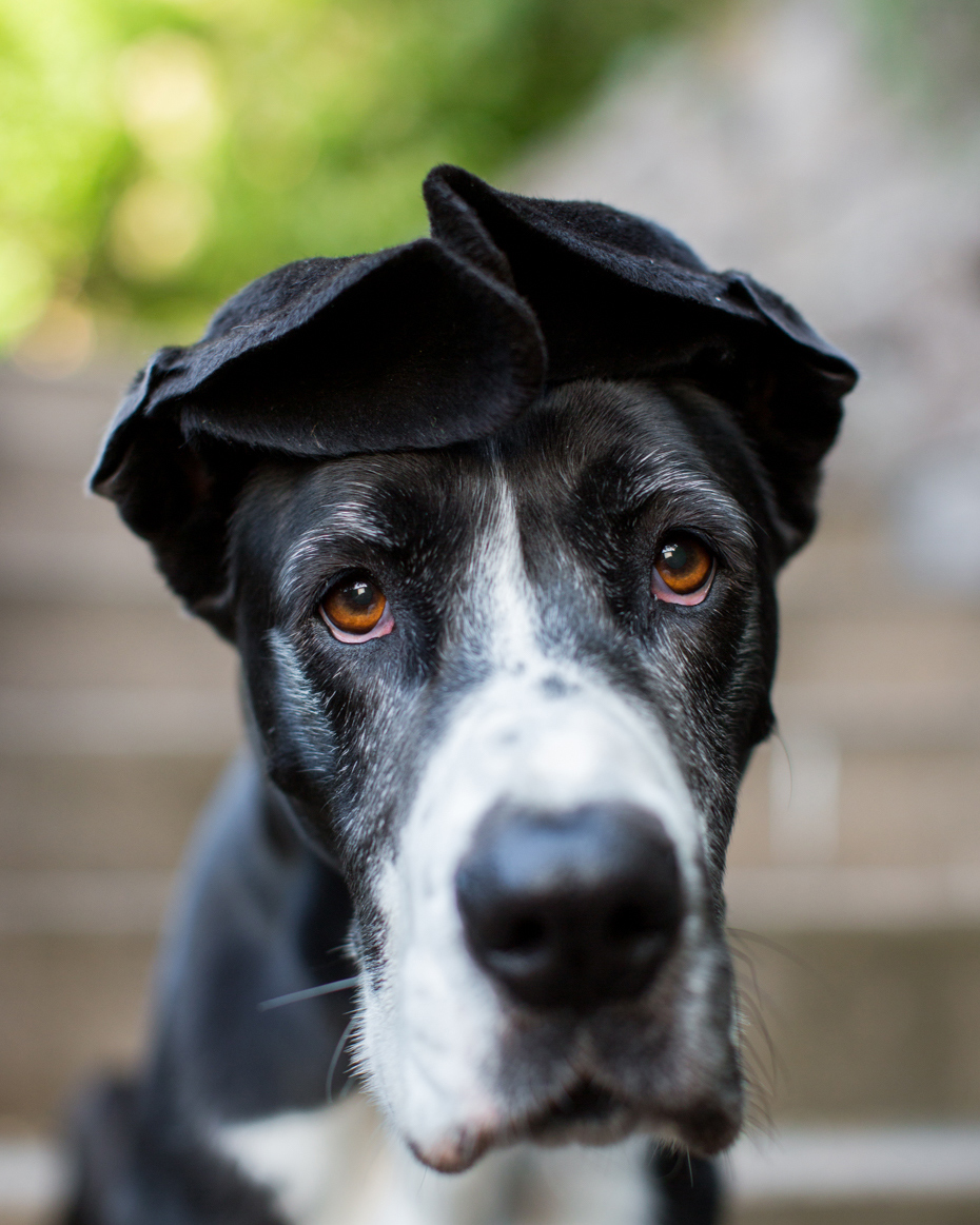 Advertising Photography | Great Dane with Folded Ears by Mark Rogers