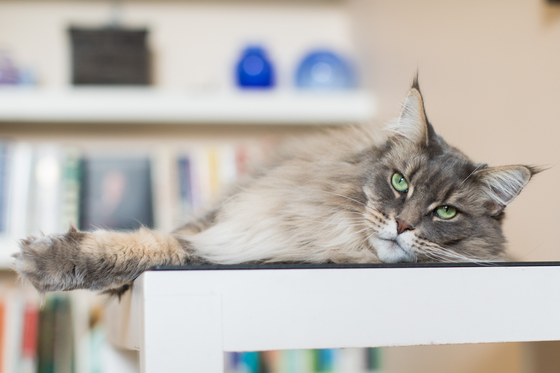 Pet Lifestyle Photography | Grey Maine Coon Cat Lying on Table by Mark Rogers
