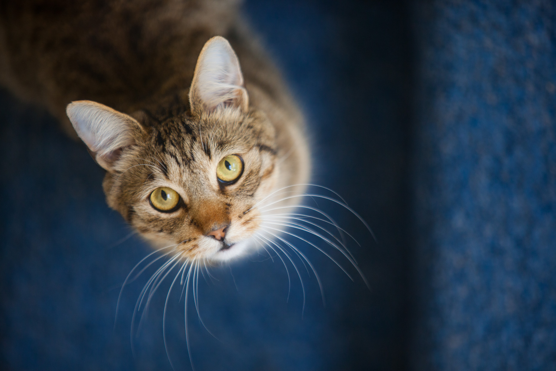 Cat and Pet Photography | Tabby Cat Looking Up by Mark Rogers