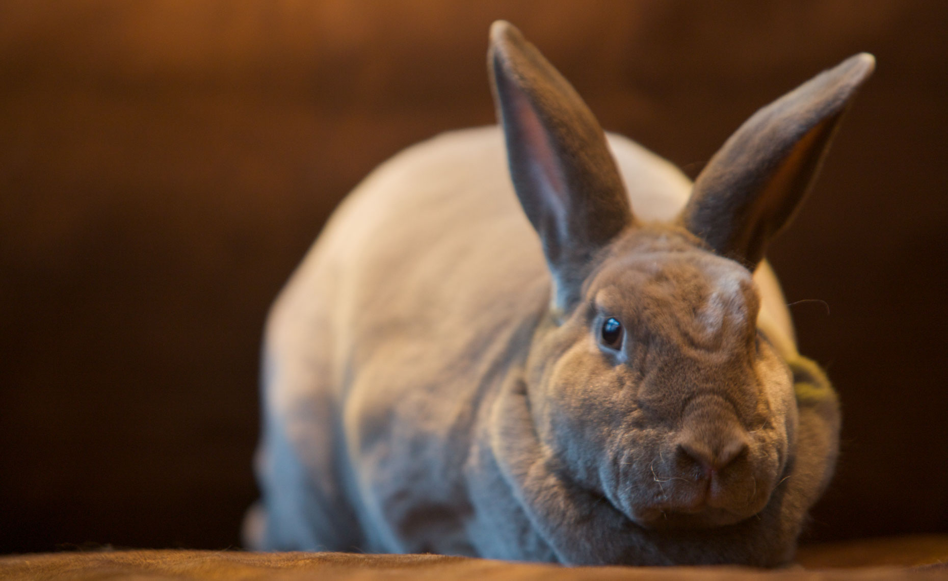 Animal Photography | Grey Rabbit by Mark Rogers