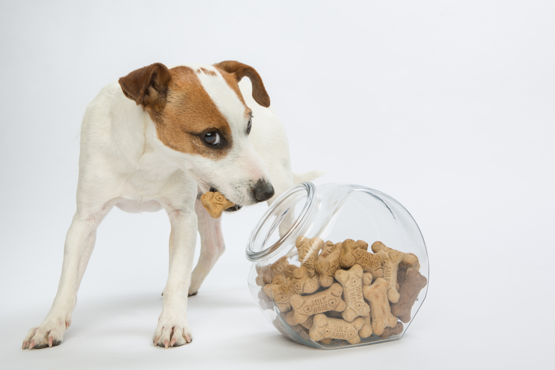 Dog Advertising Photography | Terrier with Treat by Mark Rogers